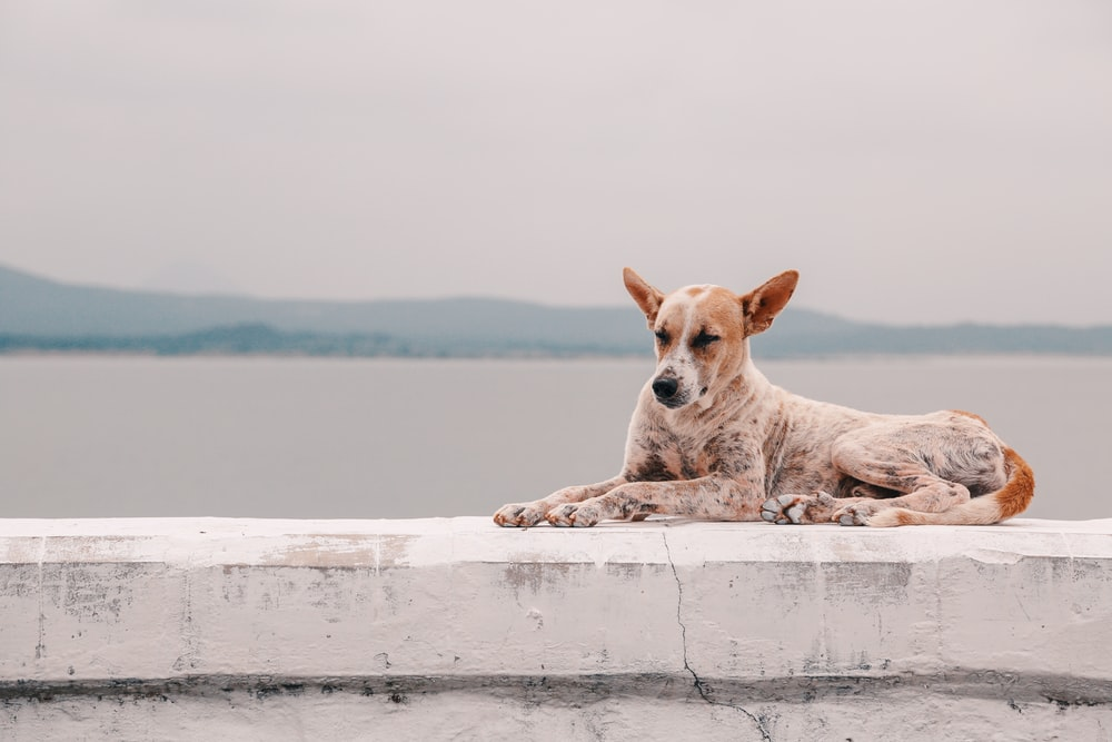 fawn dog lying on concrete platform beside body of water