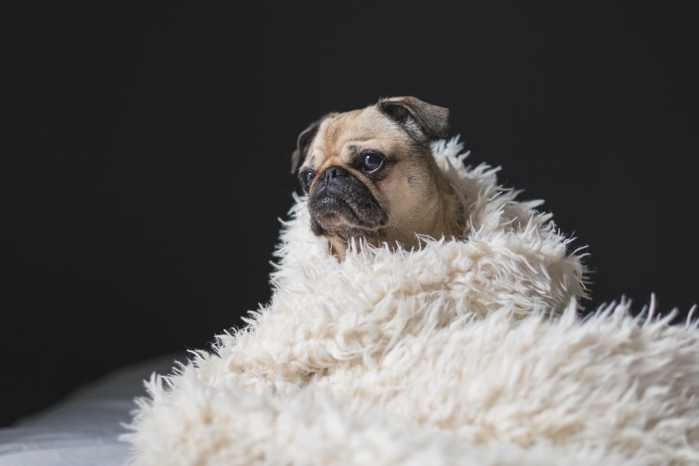 adult fawn pug covered with white fur cover
