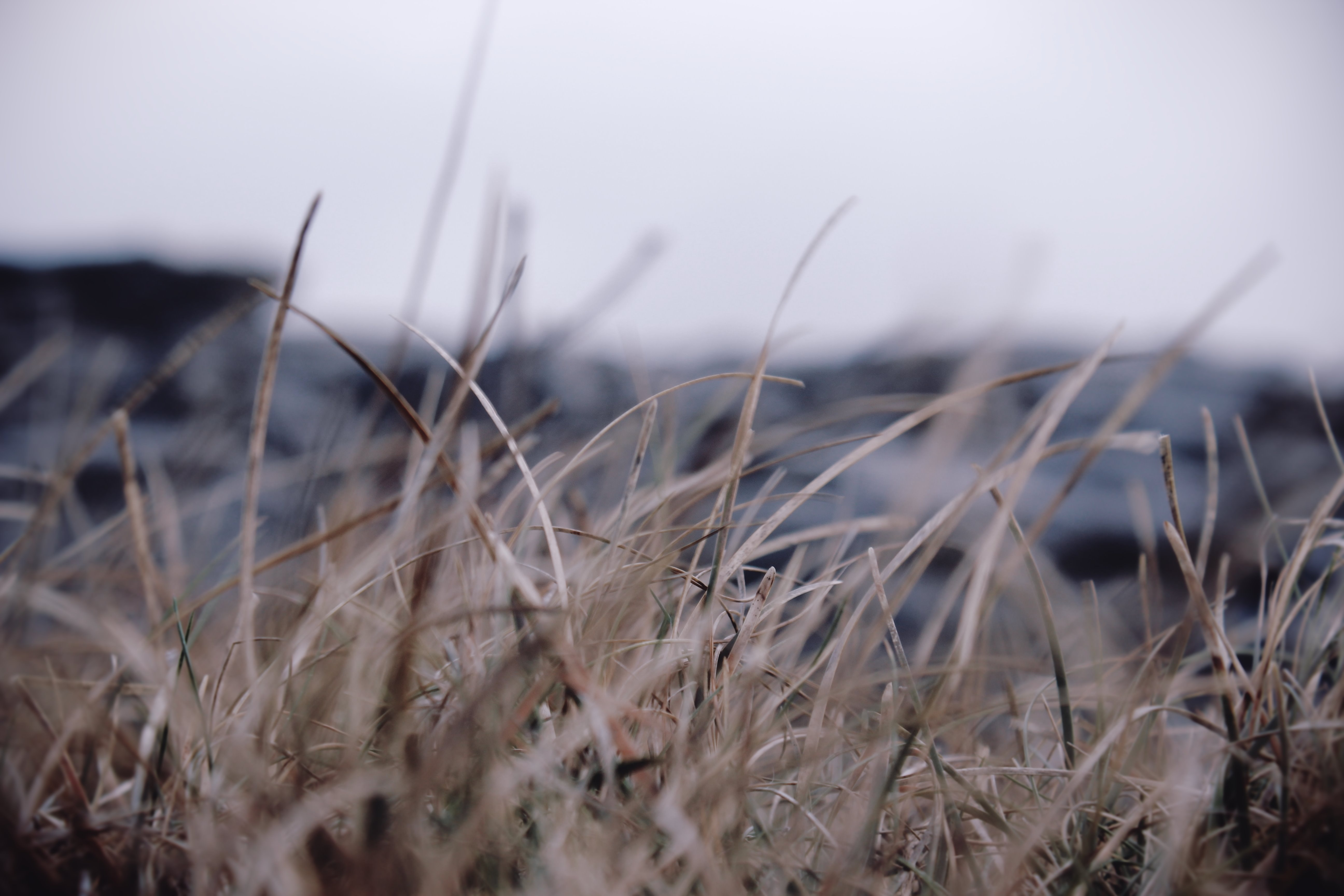 Dry dead blades of brown grass in a winter field