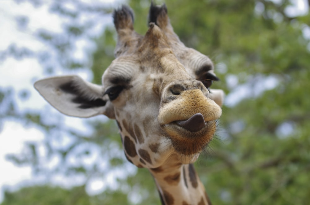 close-up photography of giraffe with tongue out