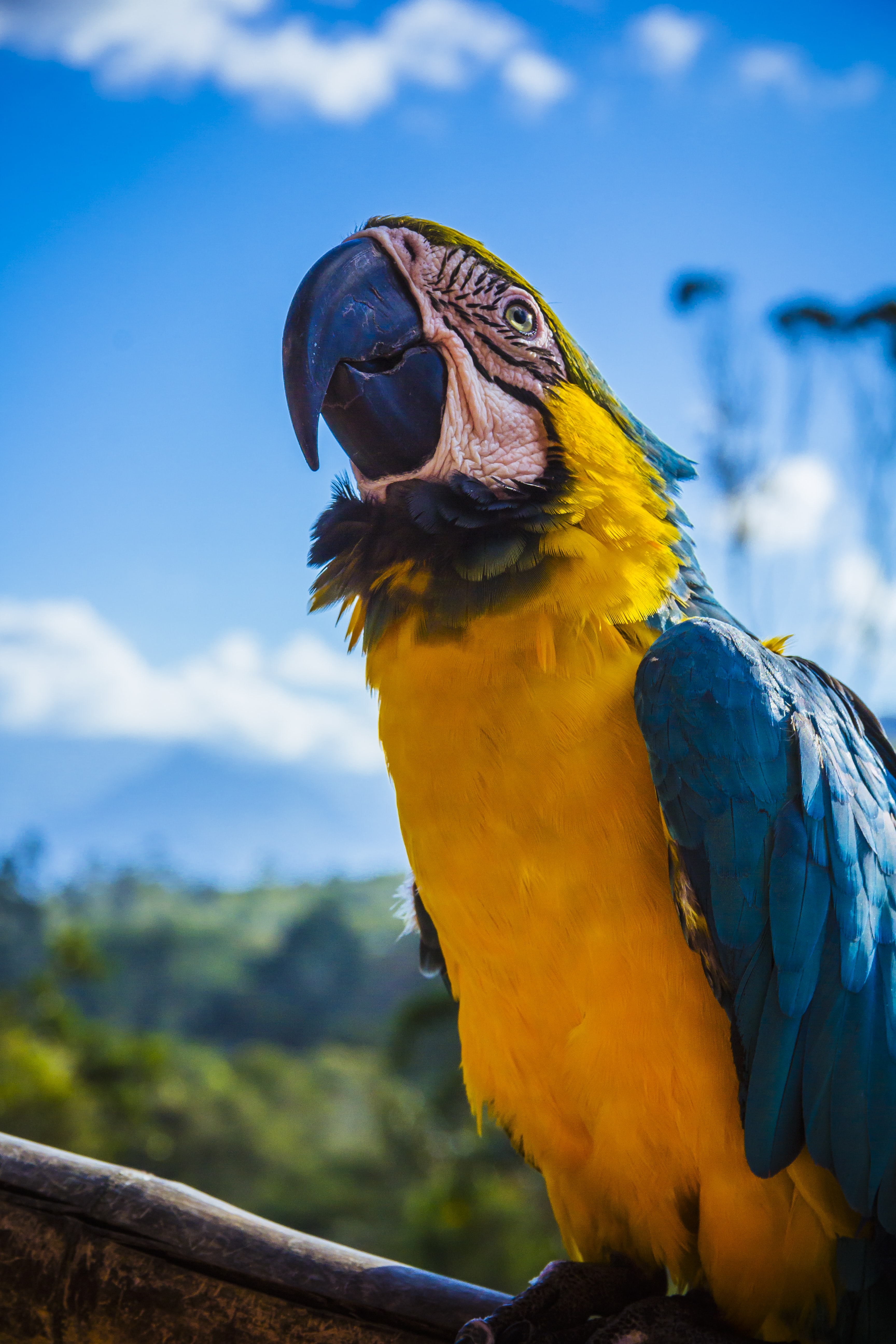 yellow and blue parrot perched on wood