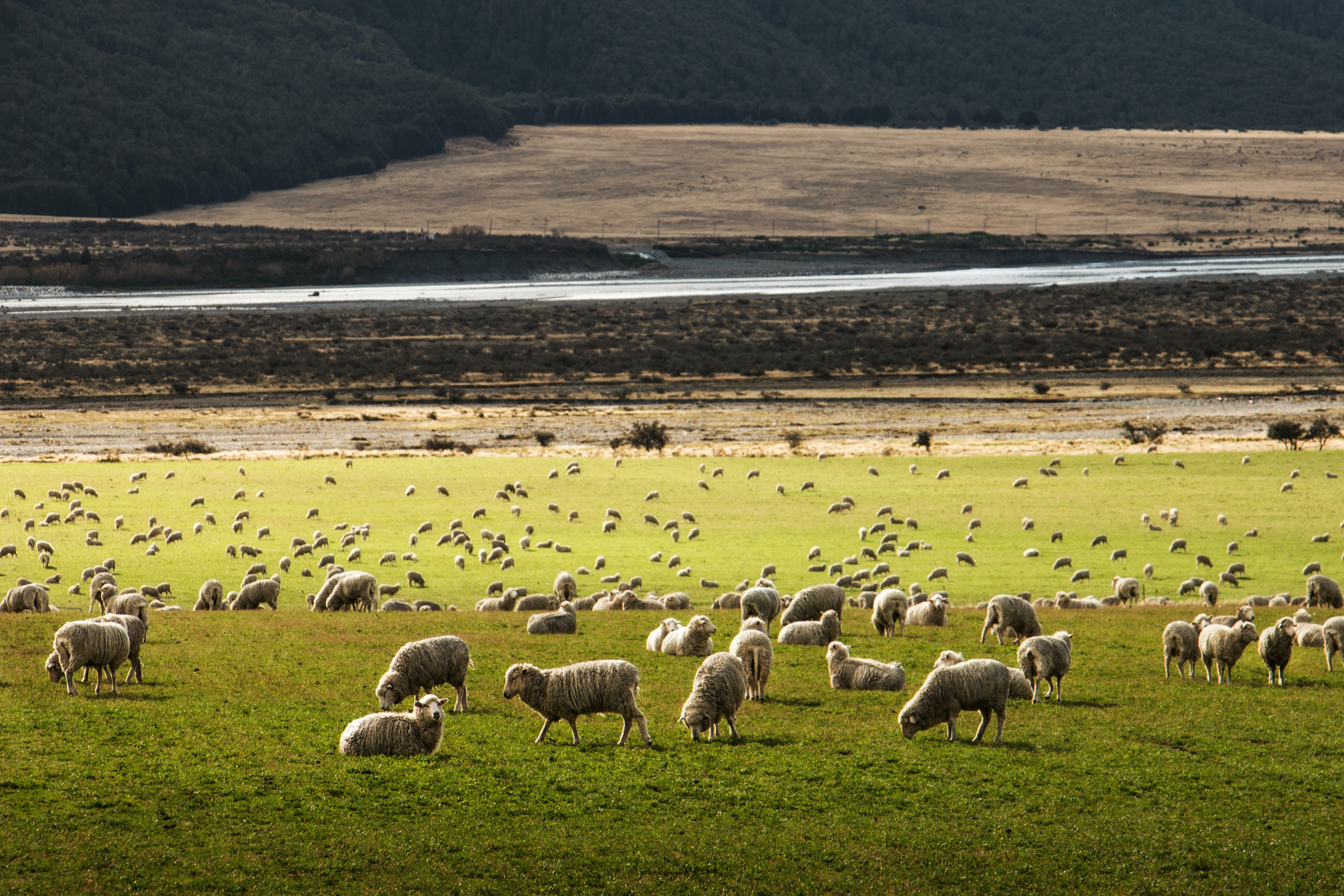 A field of dozens of sheep grazing and walking around on green grass beside a highway curring through a desert plain and a dark forest