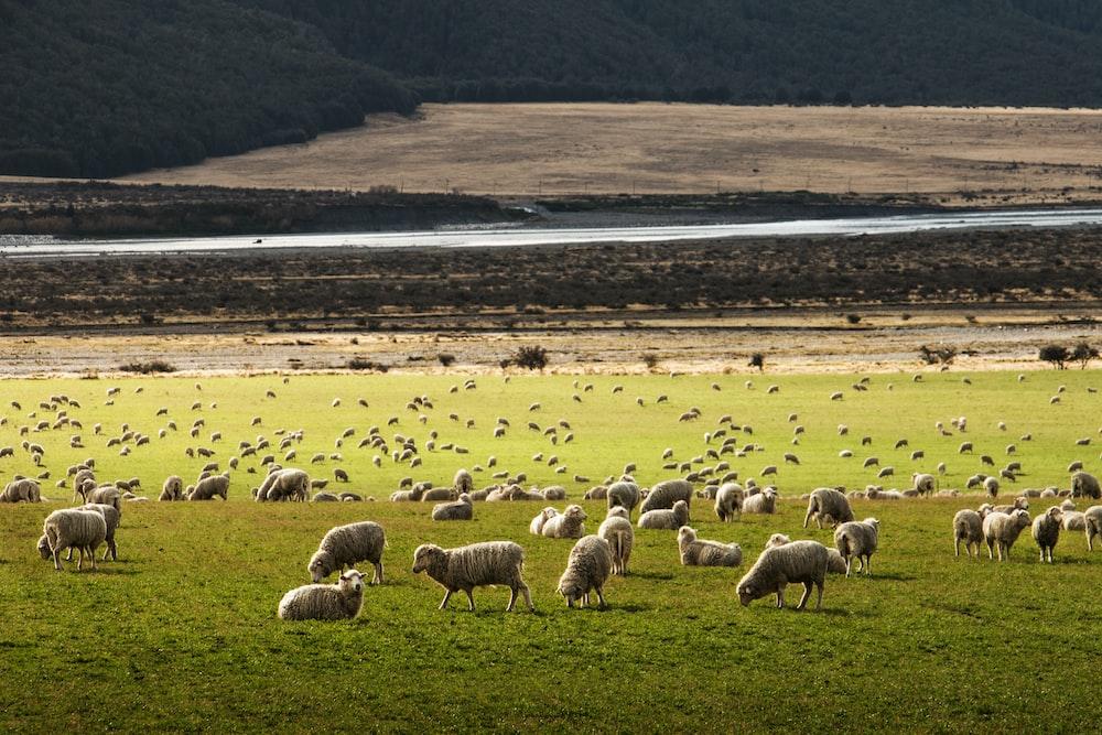 A Field Of Dozens Sheep Grazing And Walking Around On Green Grass Beside Highway
