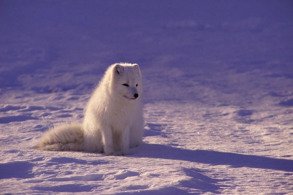 white fox sitting on snow during daytime