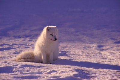 white fox sitting on snow during daytime cute zoom background