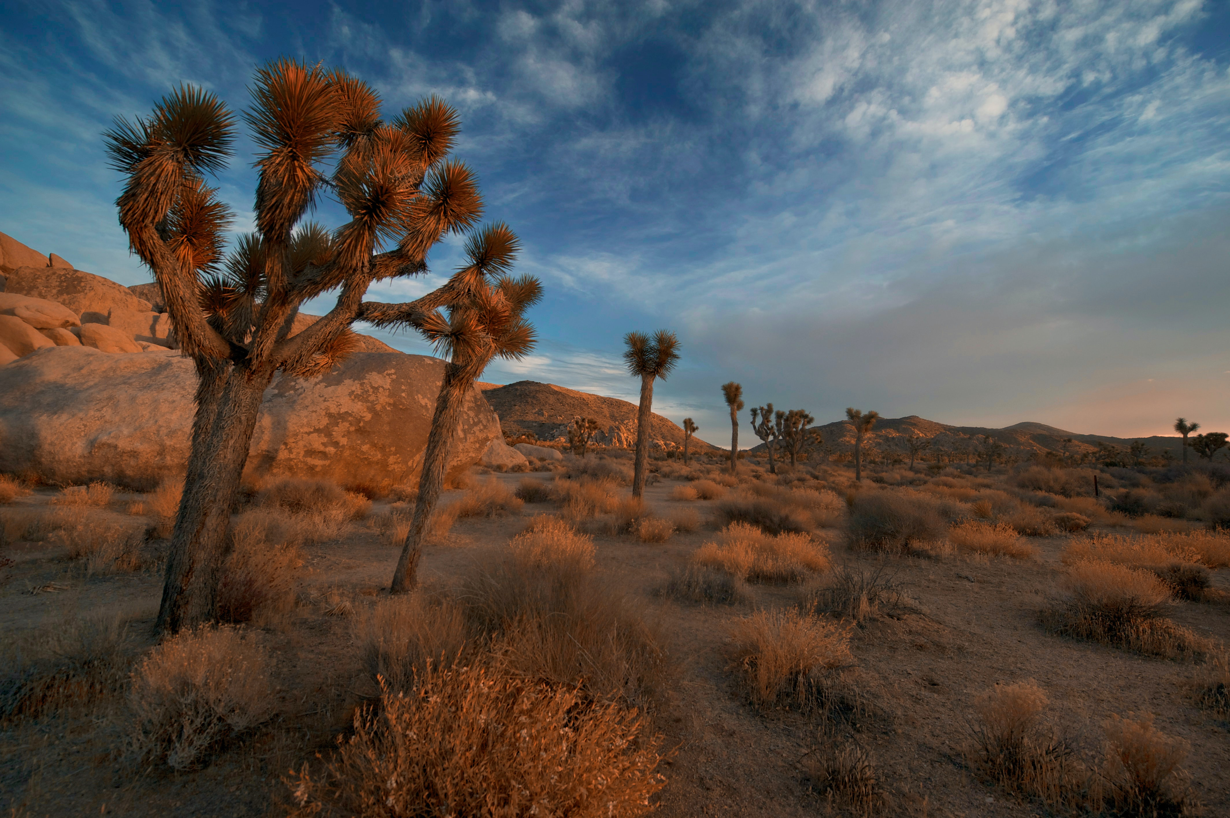 A mix of tumbleweed and cacti in Joshua Trees during sunset