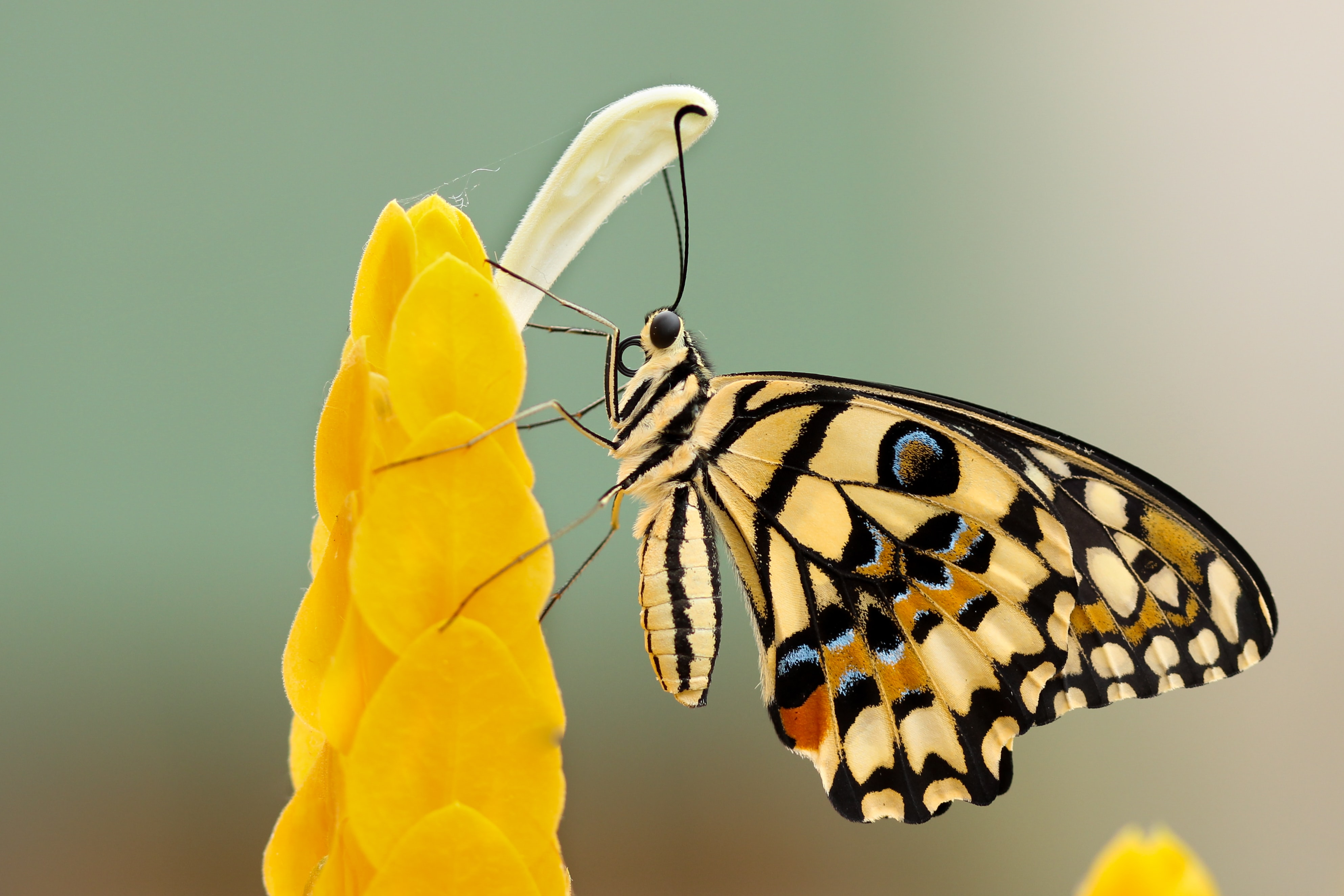 A butterfly feeding on yellow petals