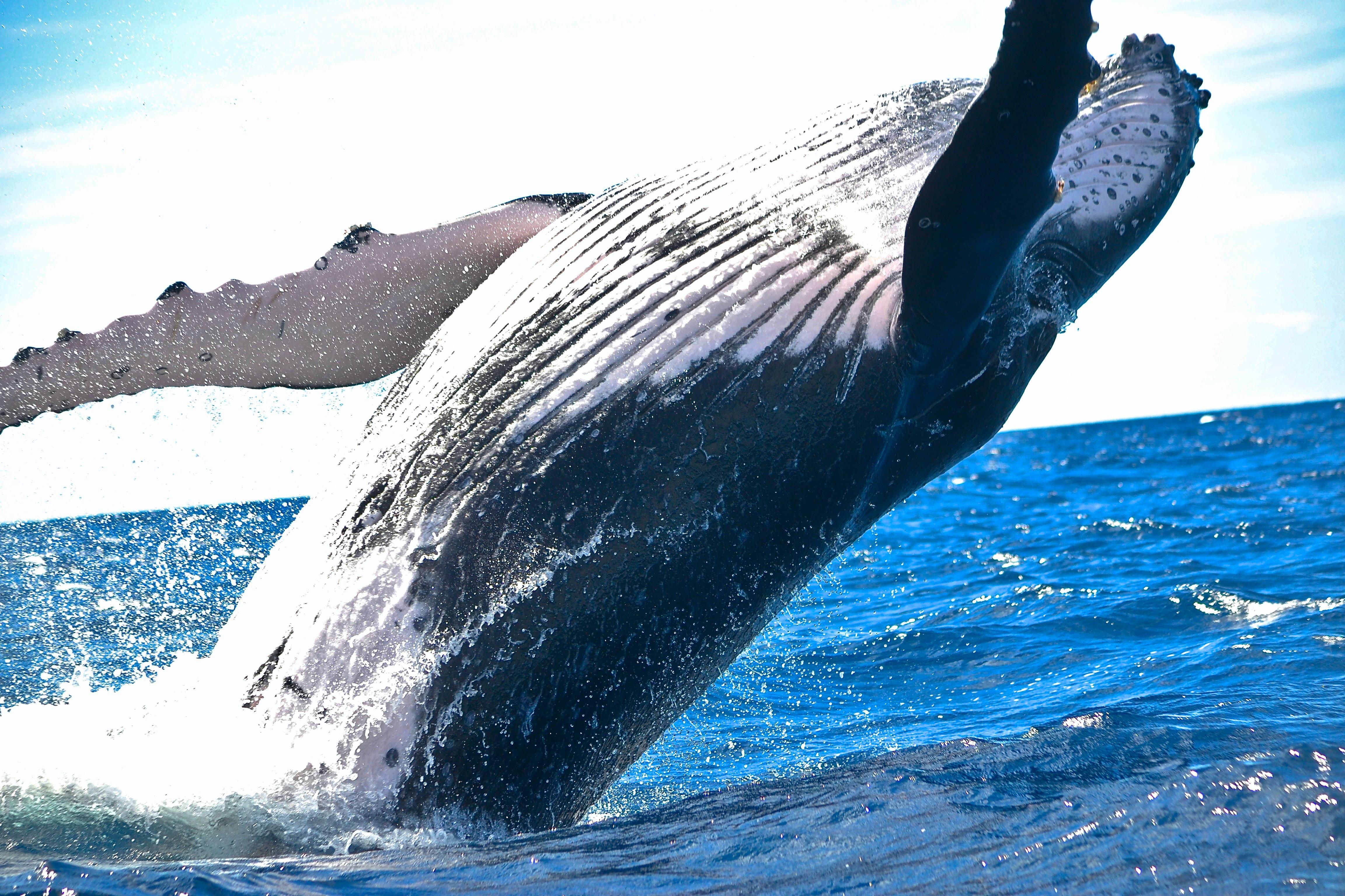 black sperm whale