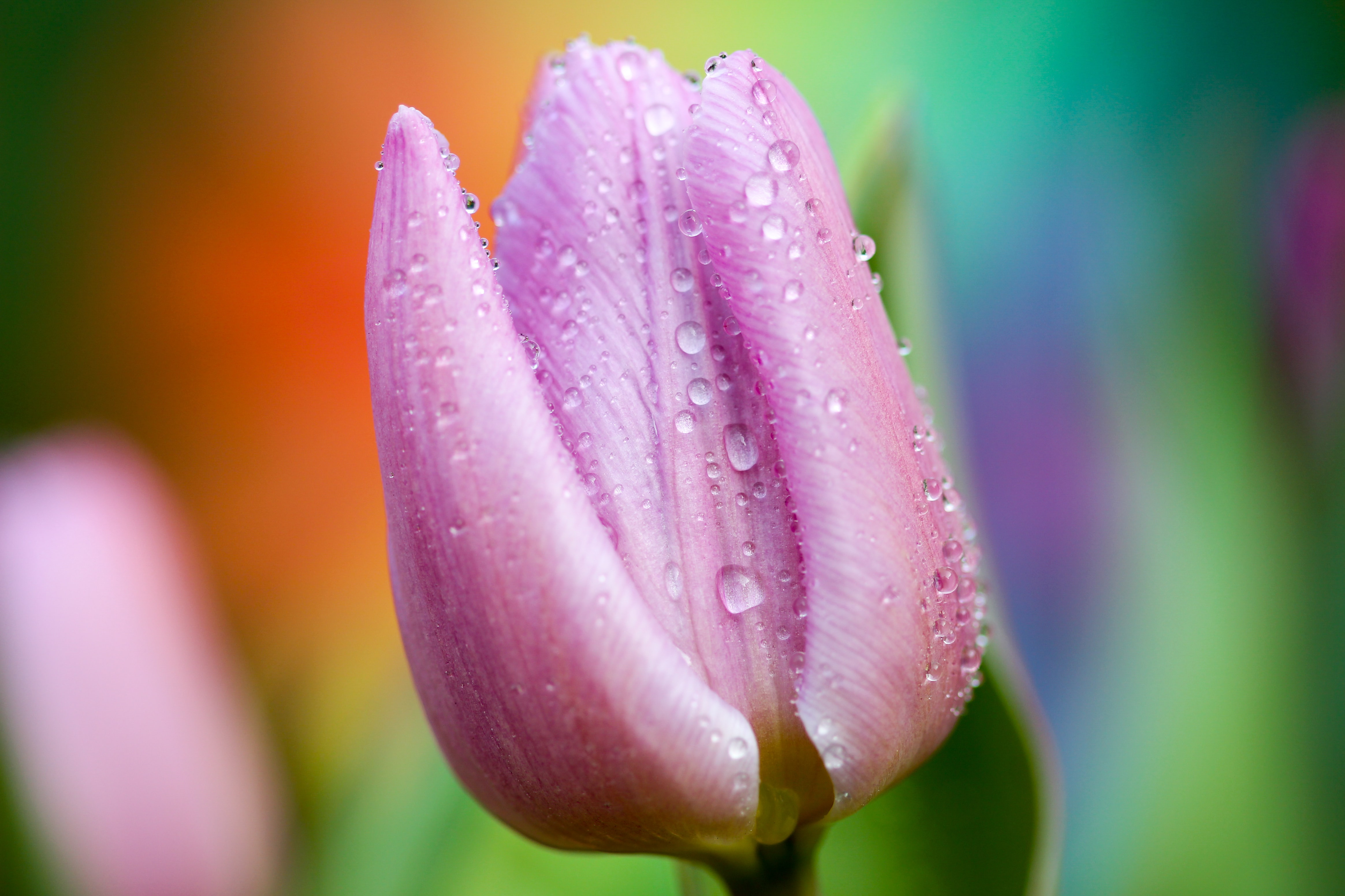 Close-up of a pink tulip with water droplets on its petals