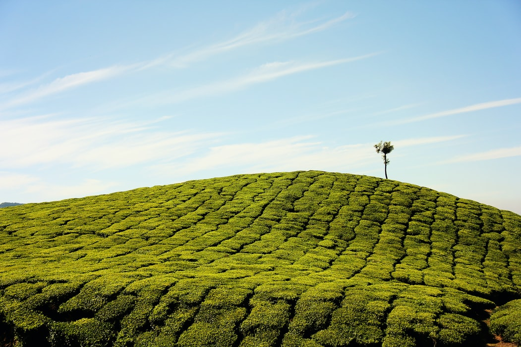Lush green landscape of munnar