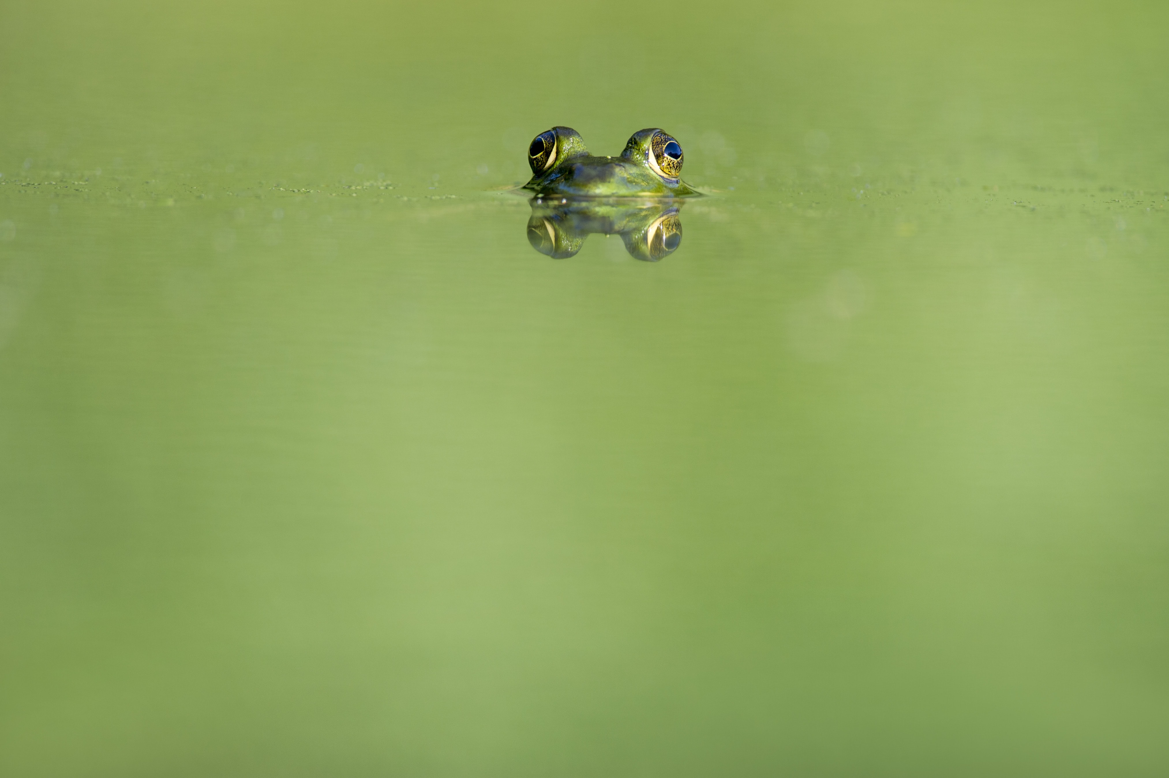 green frog swimming on water