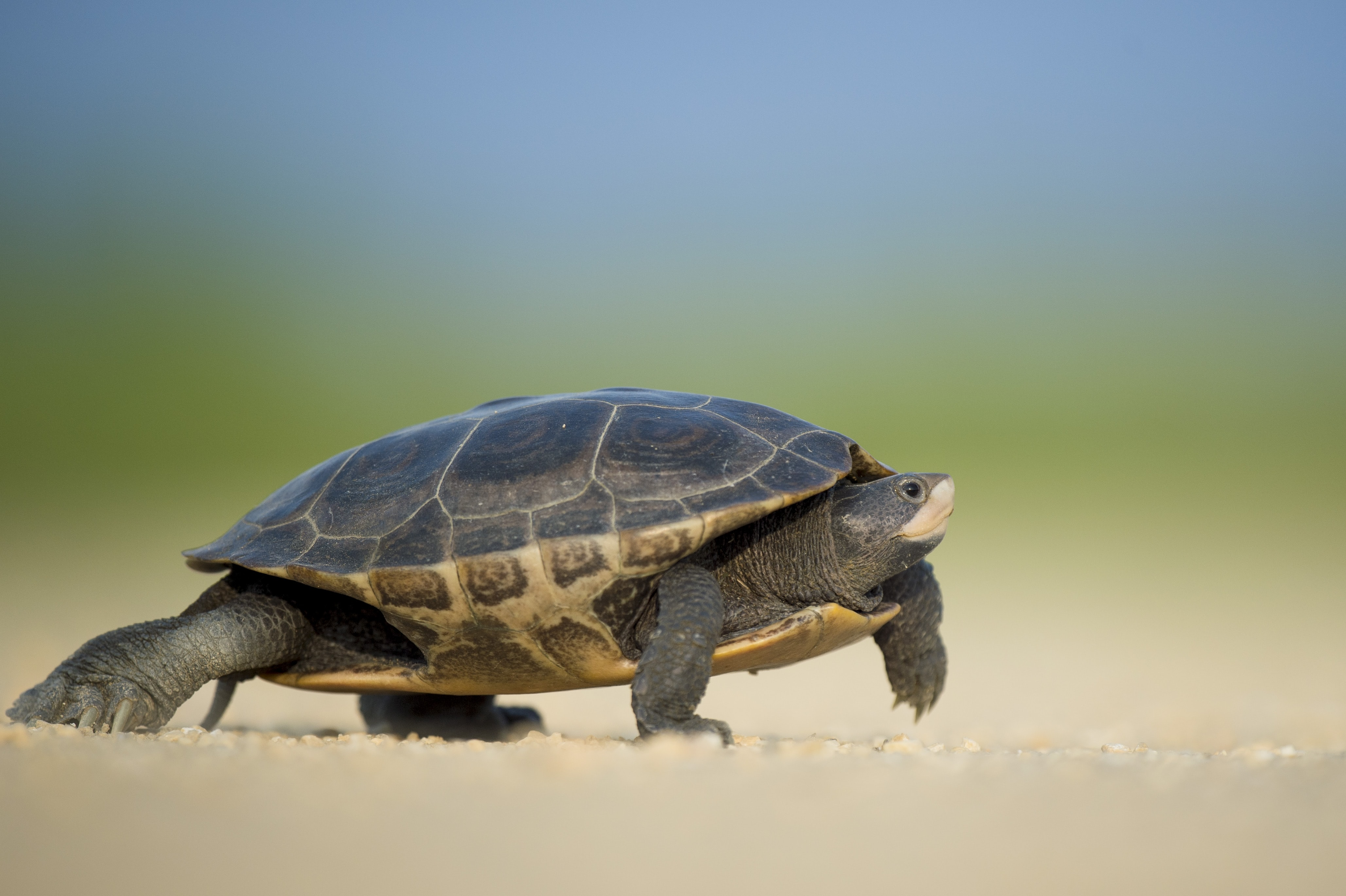 Macro of a turtle scampering across a sandy surface