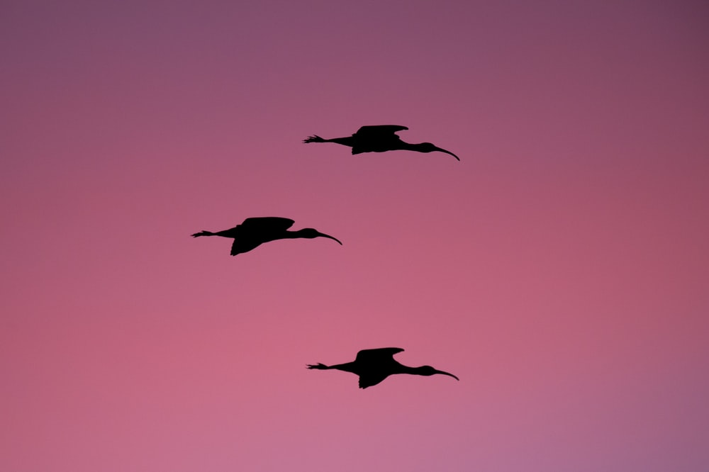 silhouette photography of three flying birds