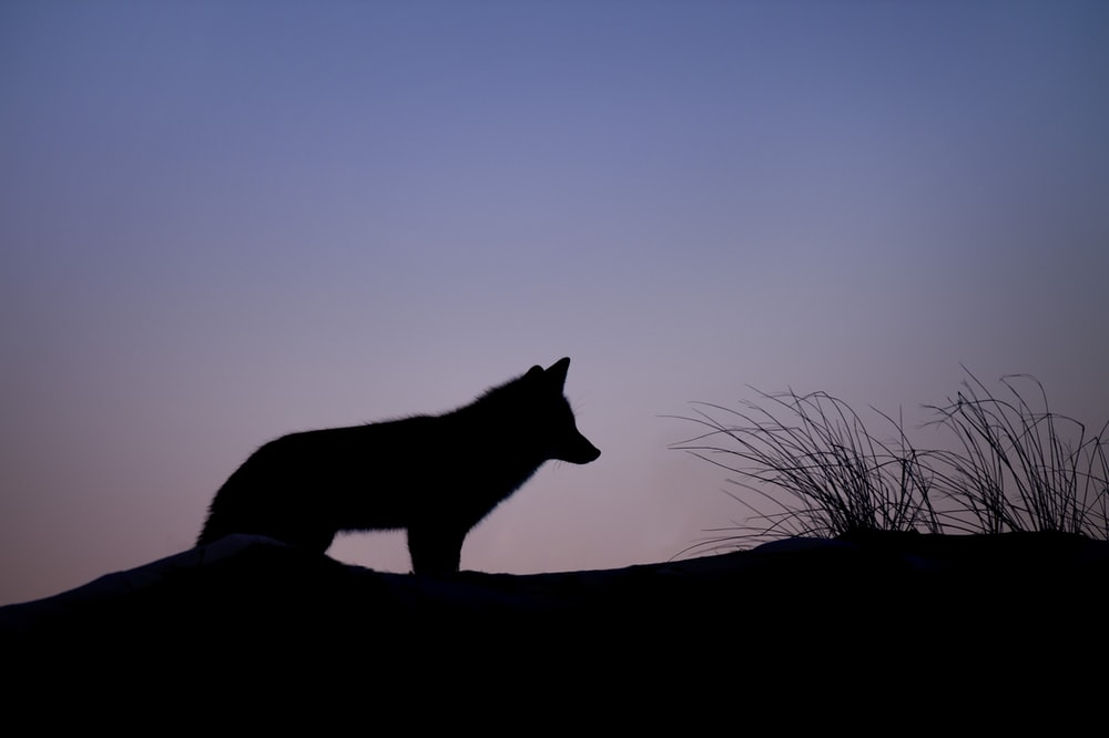 silhouette of wolf standing on ground