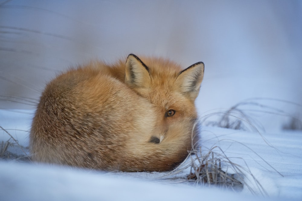 fox laying on snow