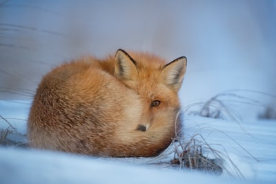 fox laying on snow wild zoom background