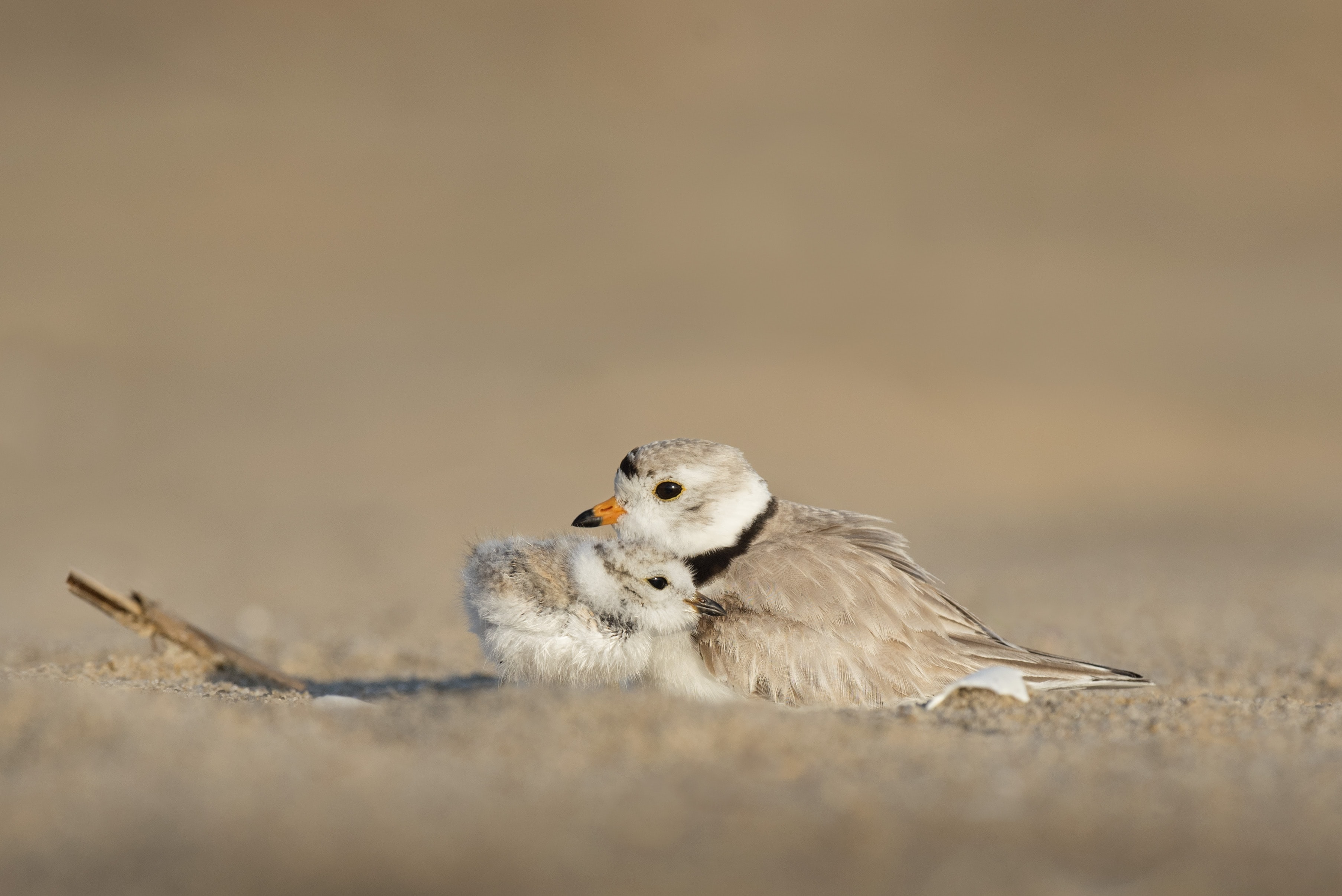 Mother bird cuddles baby bird protectively in the sand