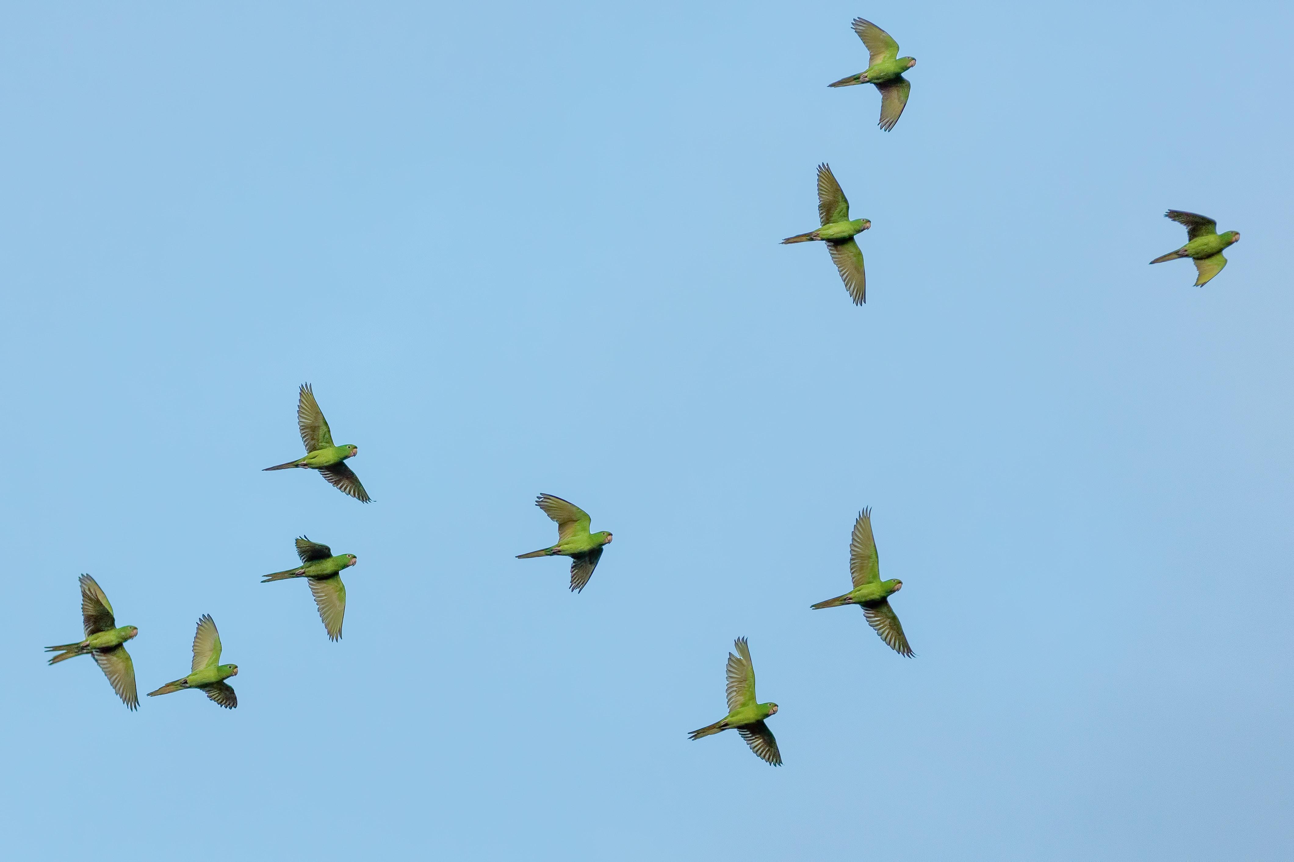 flock of yellow bird flying