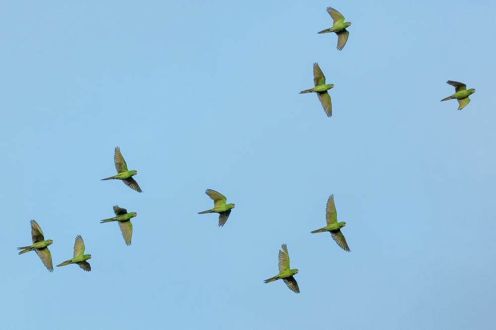 flock of yellow bird flying