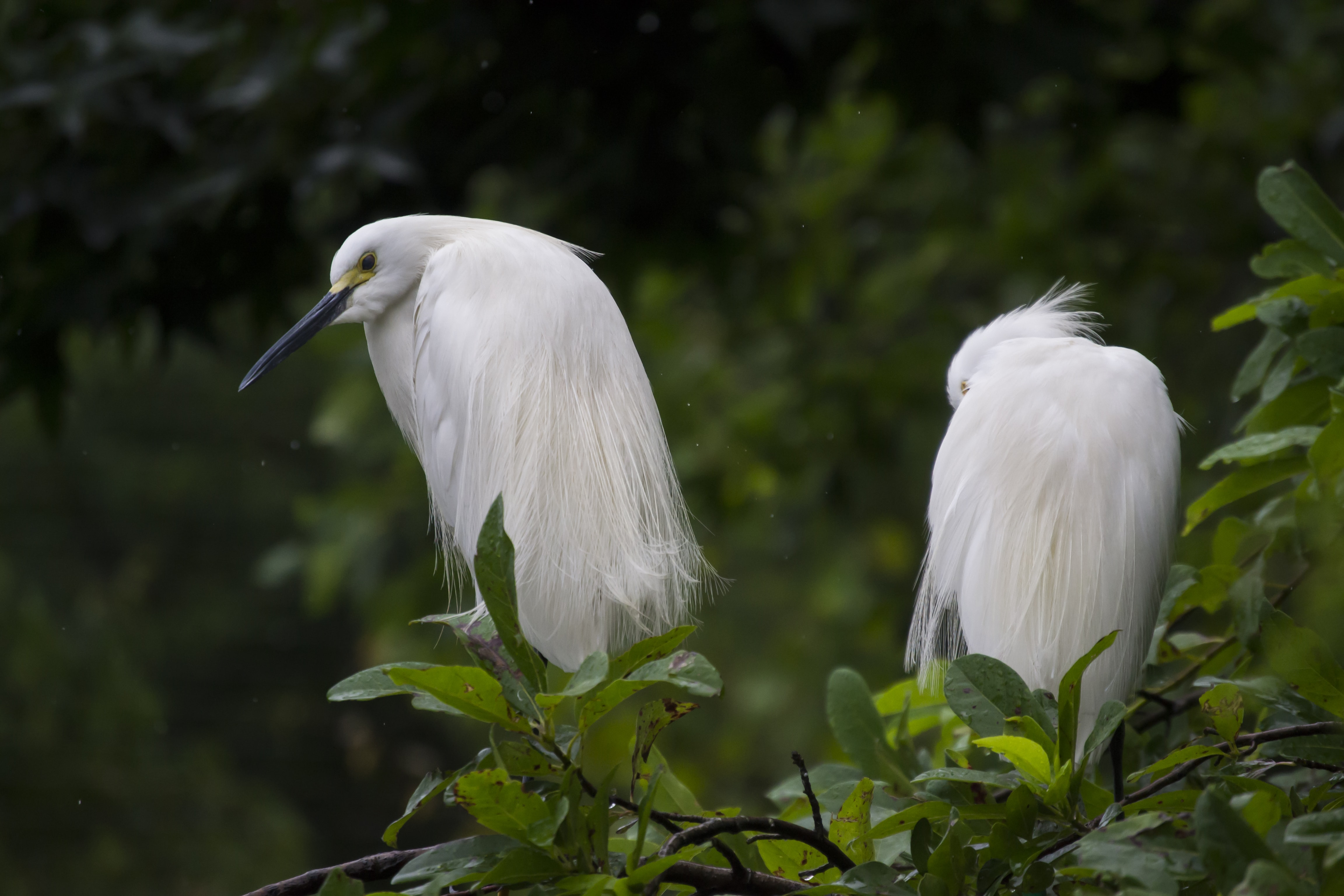two white long beak birds