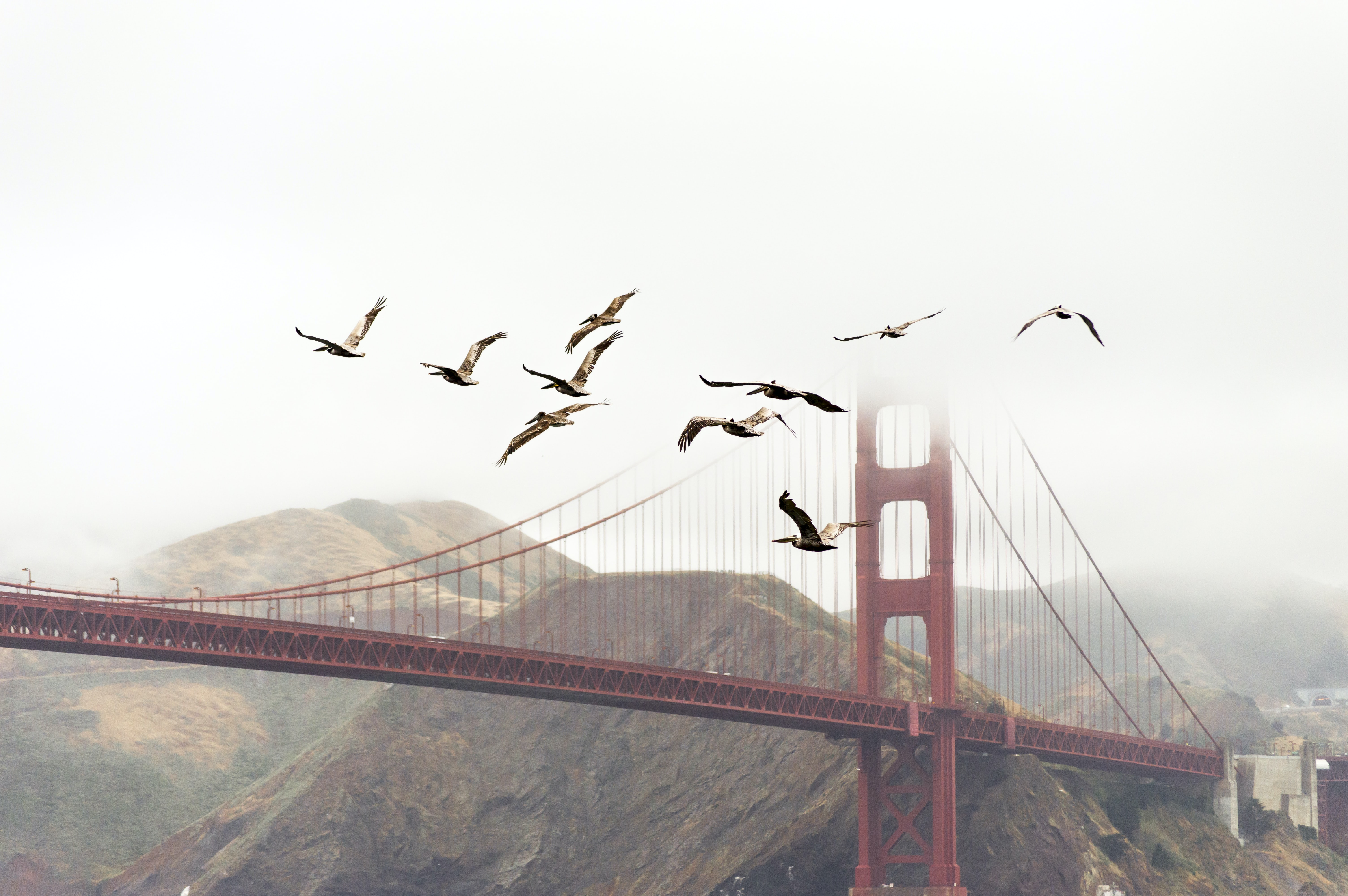 Birds fly away from Golden Gate Bridge on a foggy day