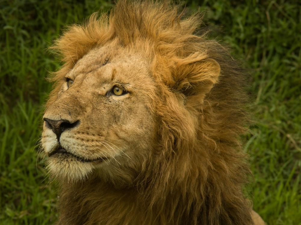 closeup photo of adult lion