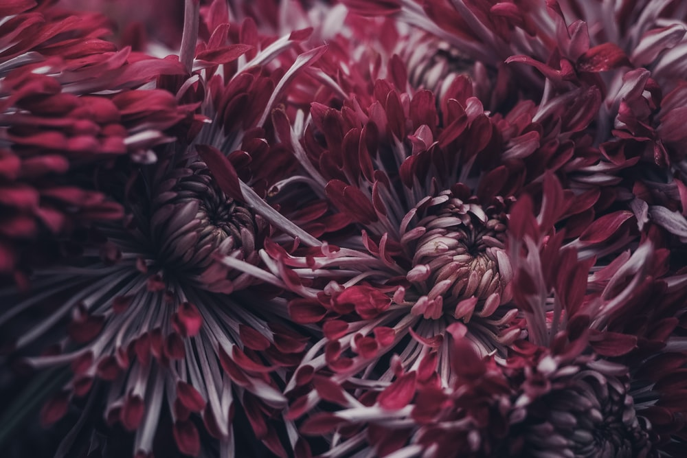 selective focus photography of red petaled flowers
