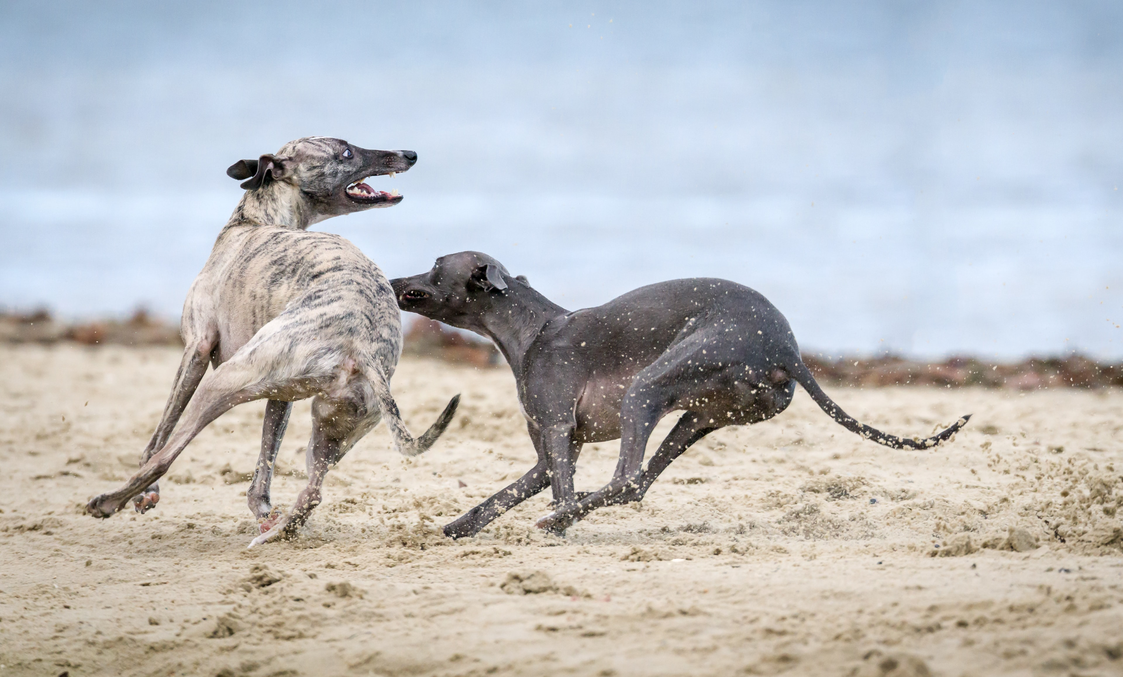 Two dogs playing on the St Kilda sand beach