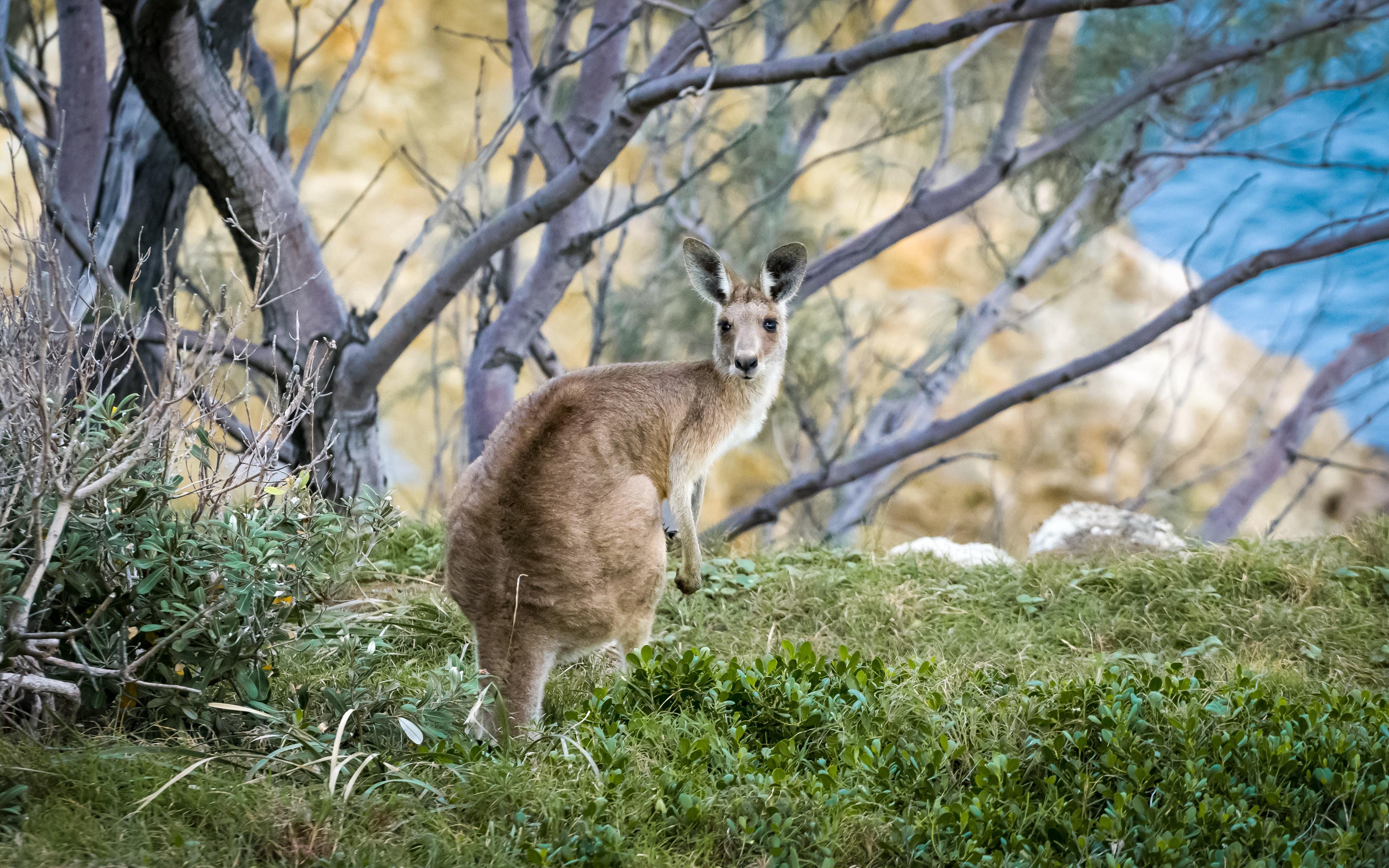 Wild kangaroo crouches down in the brush