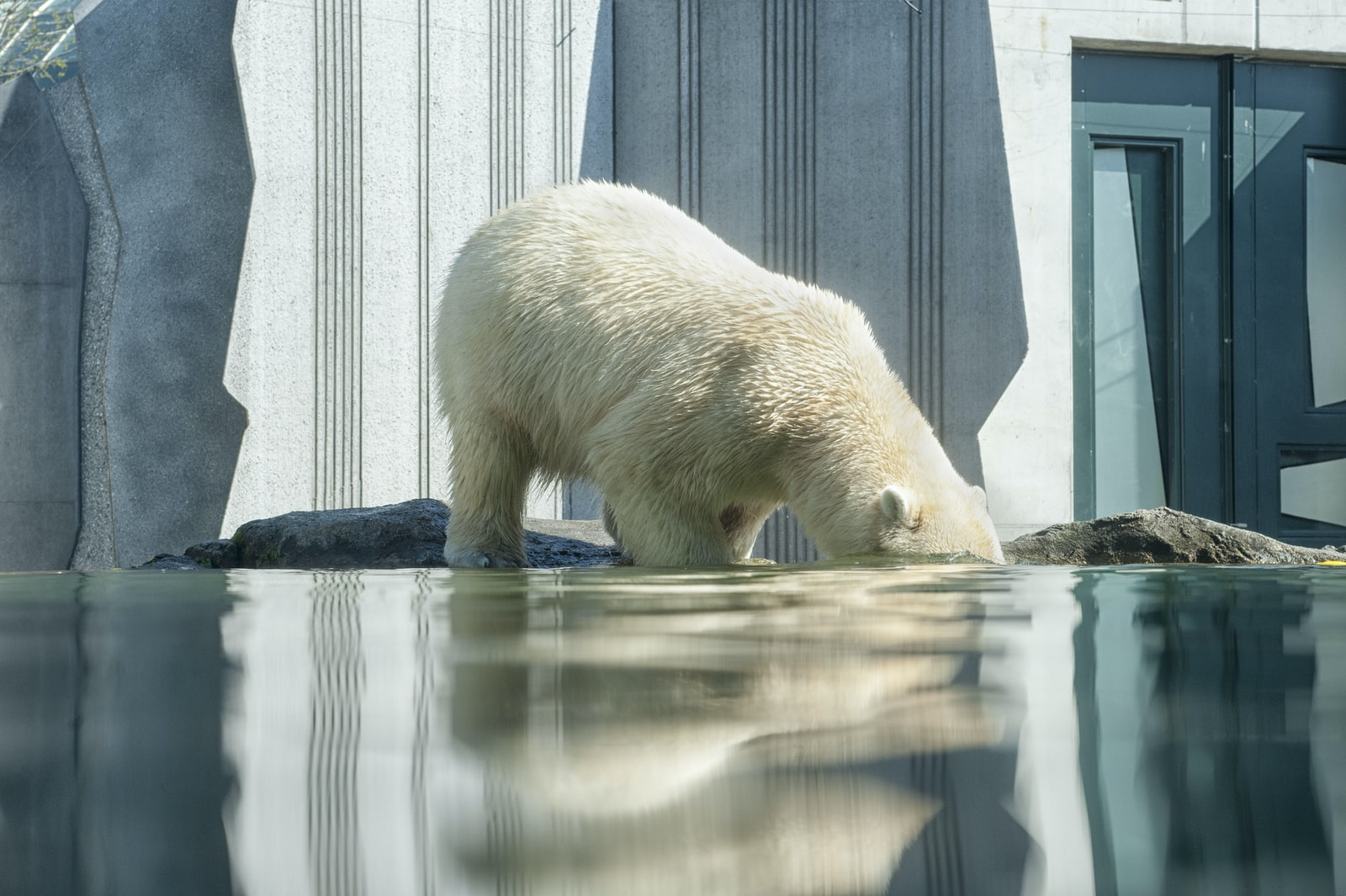 "Nikon D700 sample photo. ""Polar bear on body"" photography"