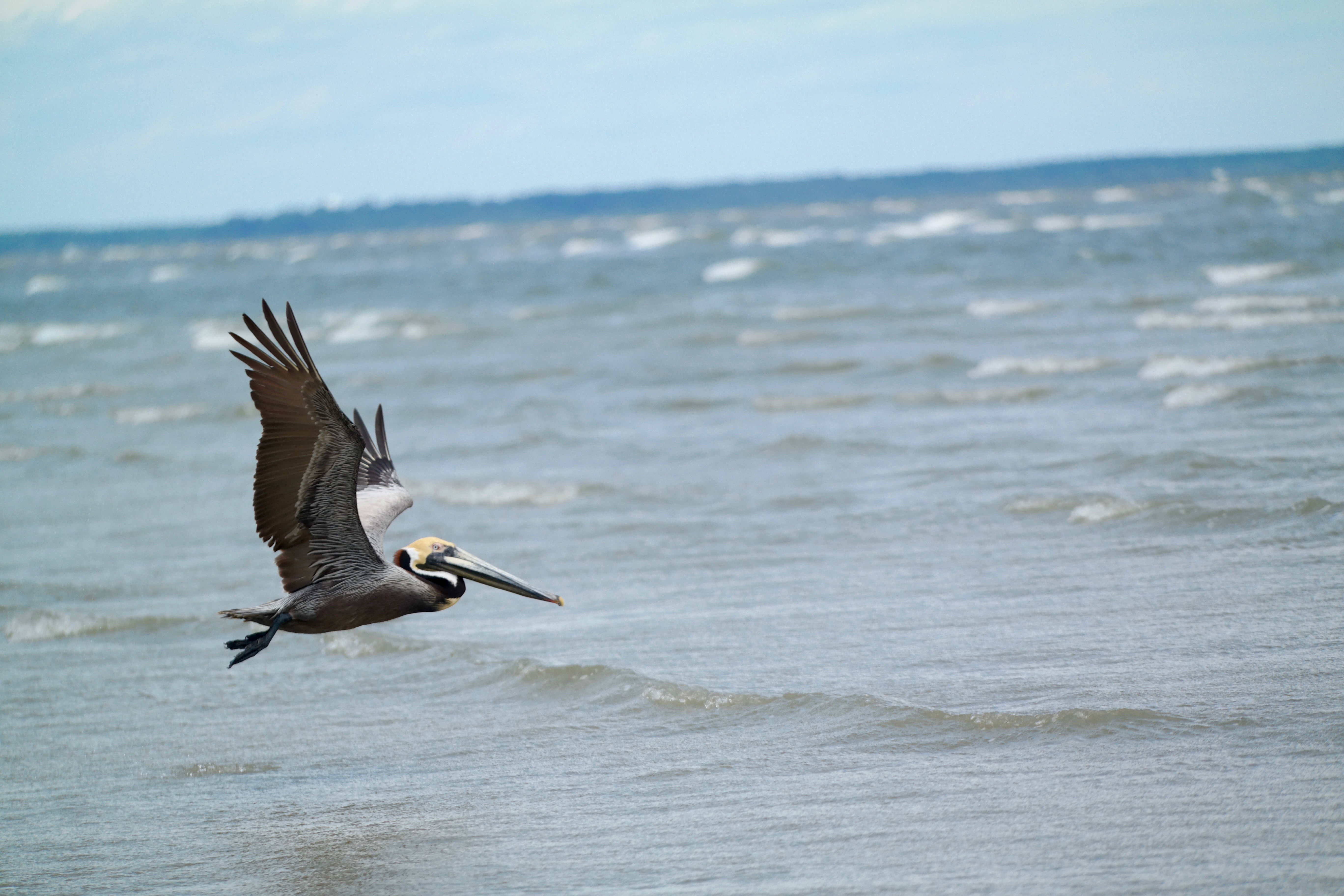 Pelican flying just above the ocean at Hilton Head Island, South Carolina, United States