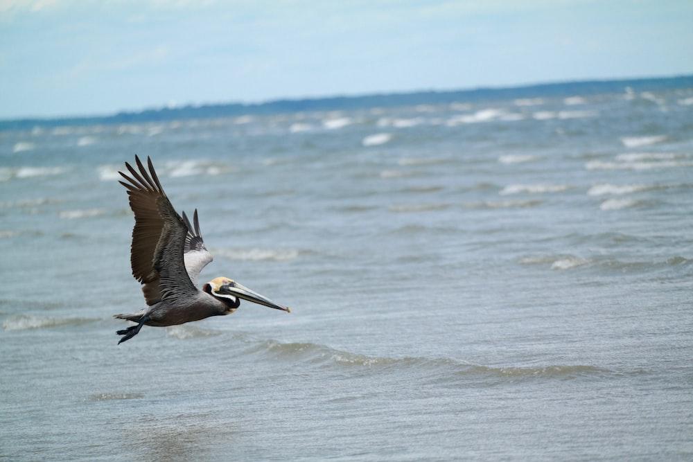 pelican flying above water