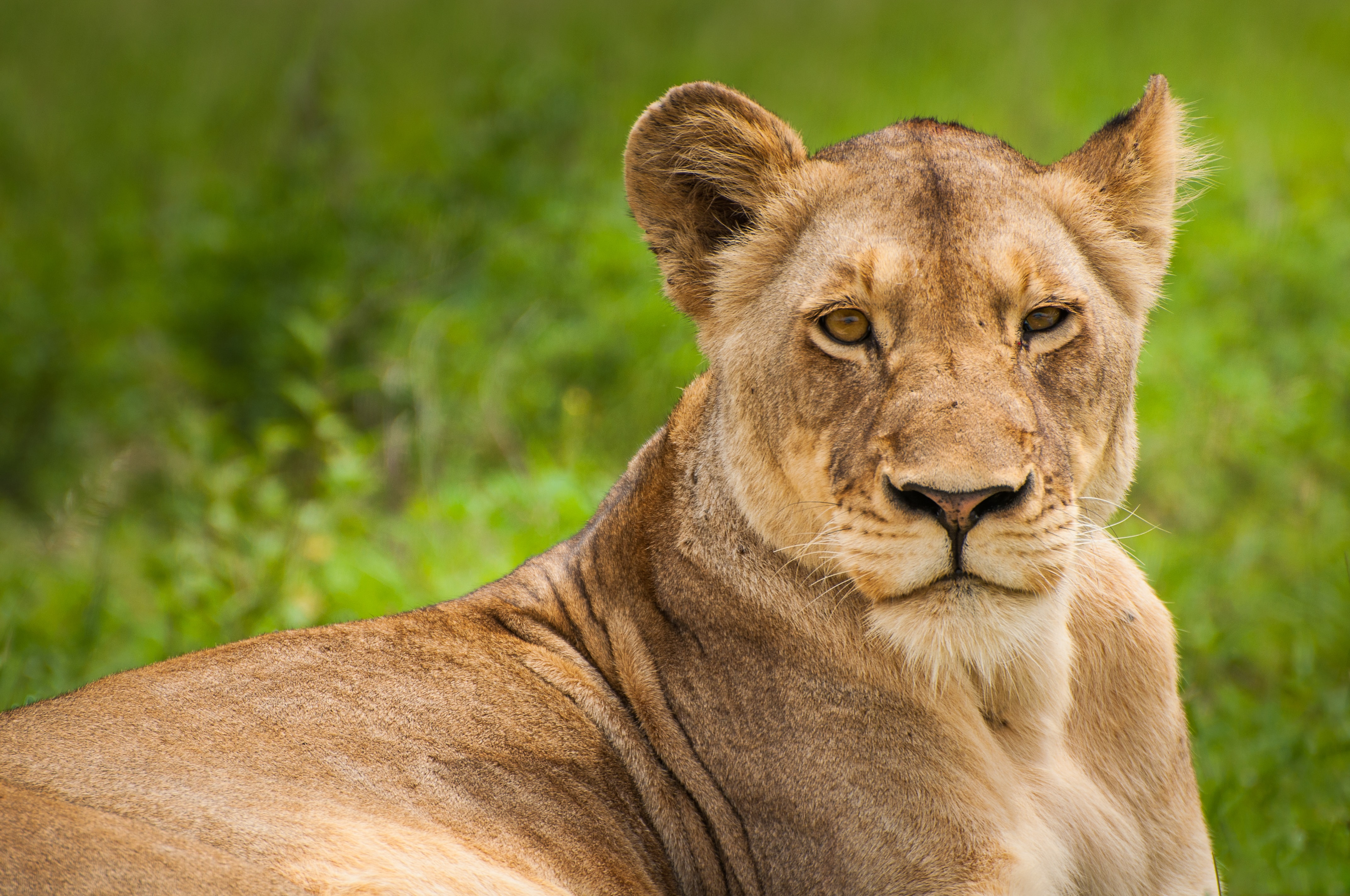 Relaxed sitting lioness staring at camera with green grass in background, Kruger National Park