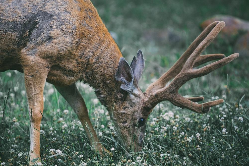 buck eating grass