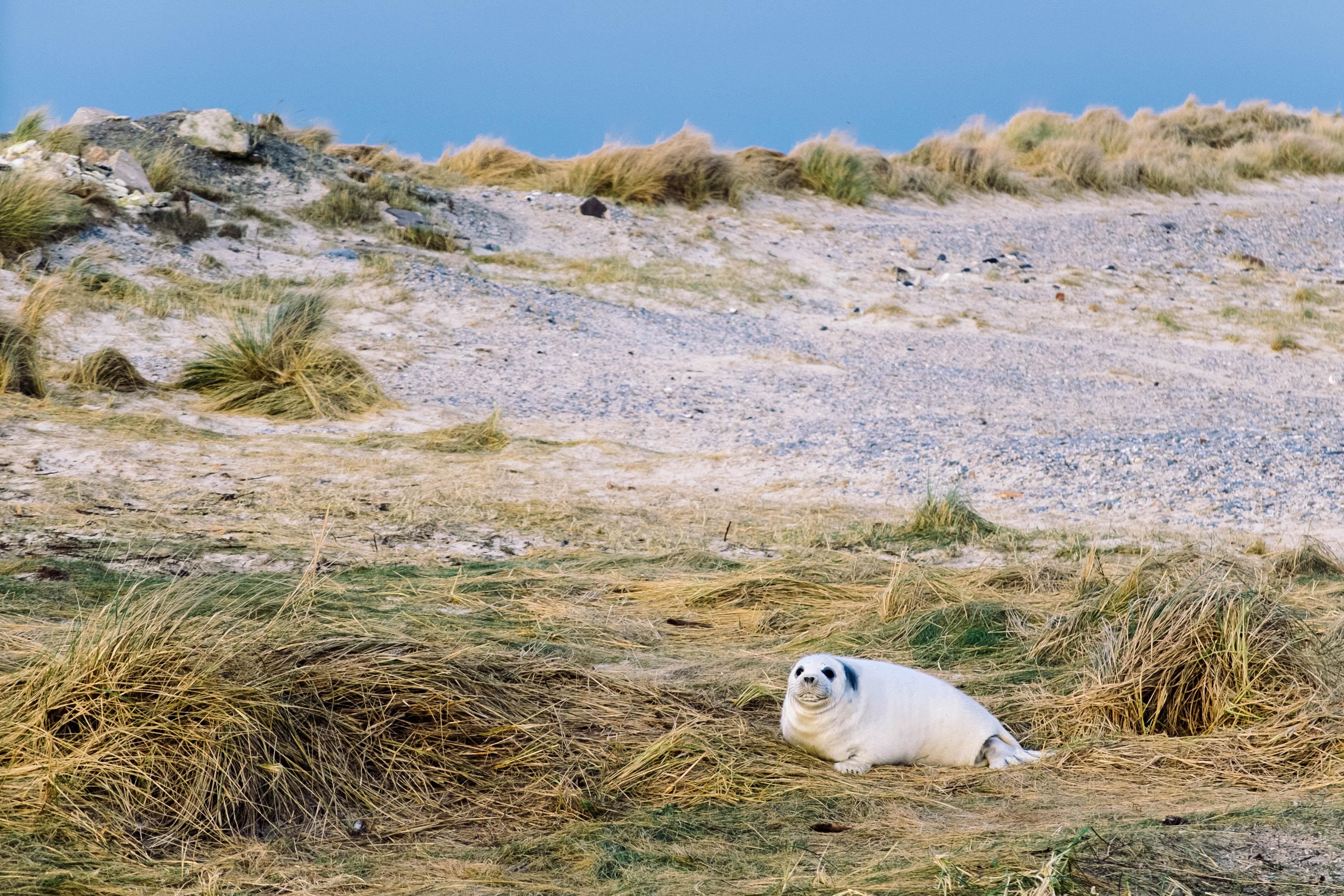 White sea lion pup in dune grass near beach in daytime, Heligoland