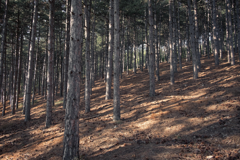 Pine trees on a slight slope in Ohrid