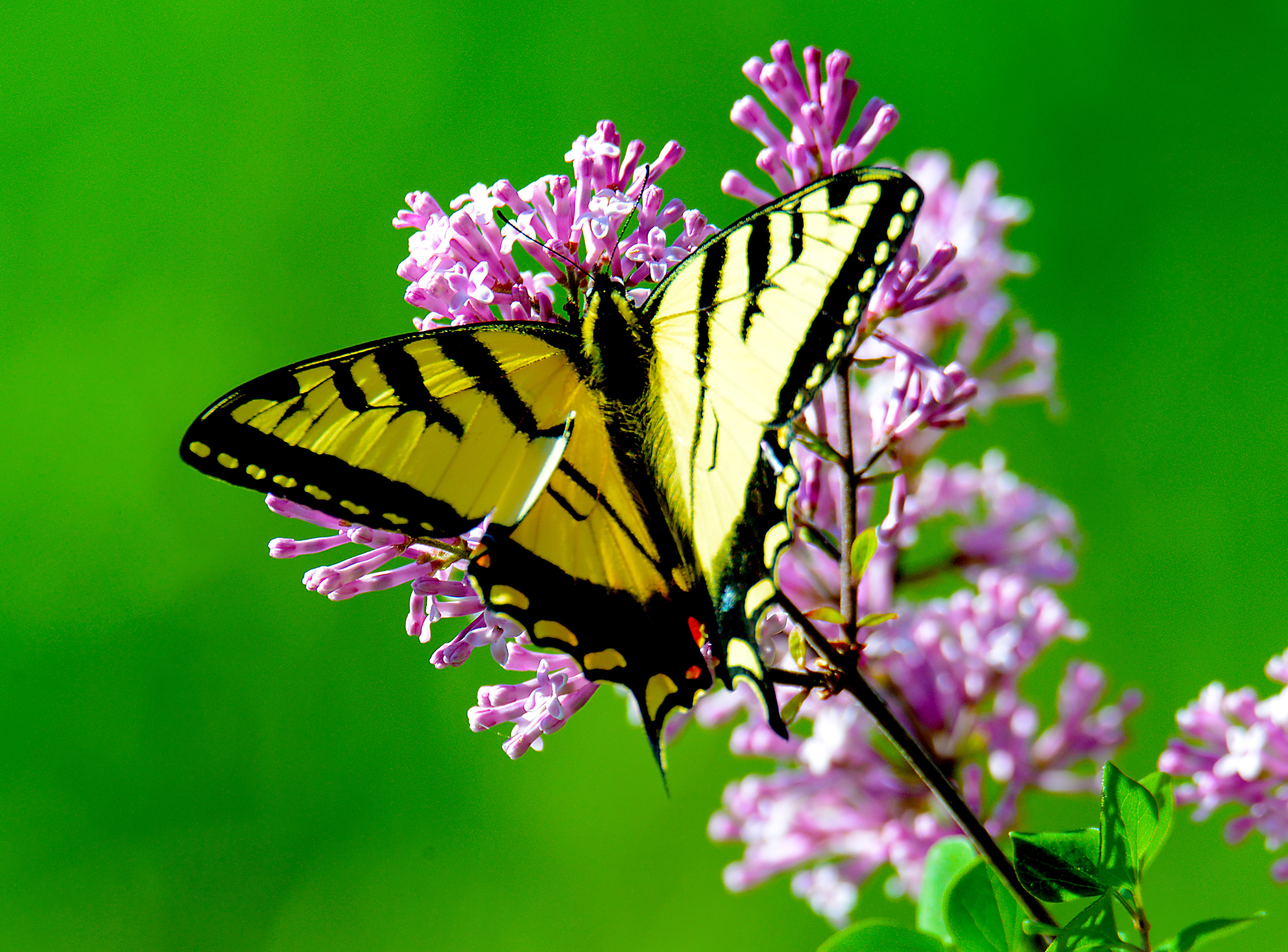 Yellow and black butterfly landing on pink flower with green background in Spring