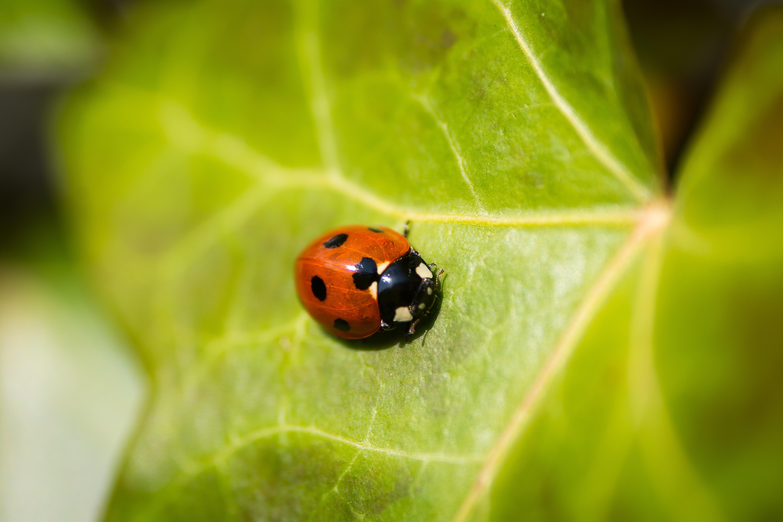 Macro shot of red and black ladybug on green leaf crawling in Spring, Apeldoorn