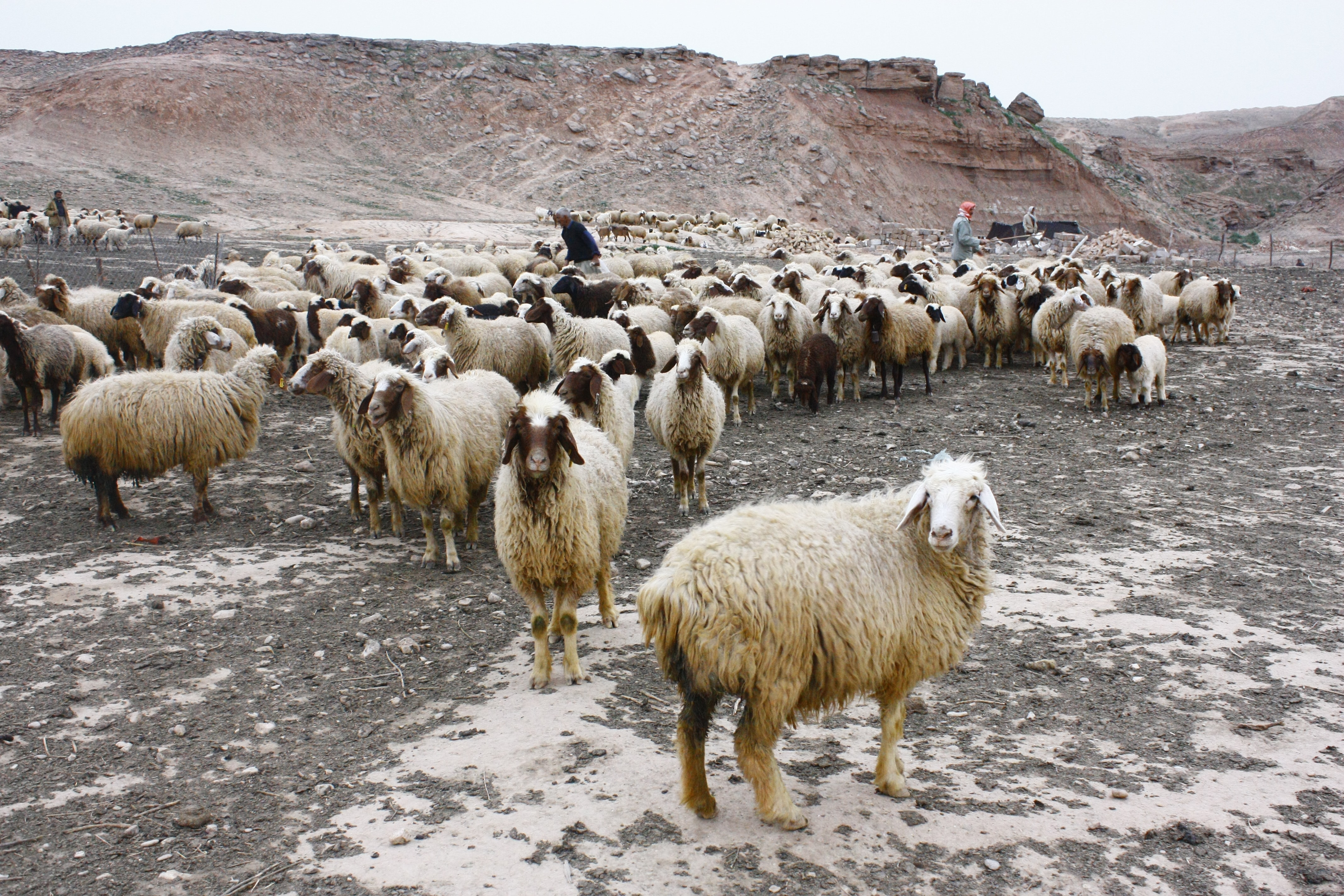 A herd of sheep with three shepherds in a sparse, rocky setting near red mountains