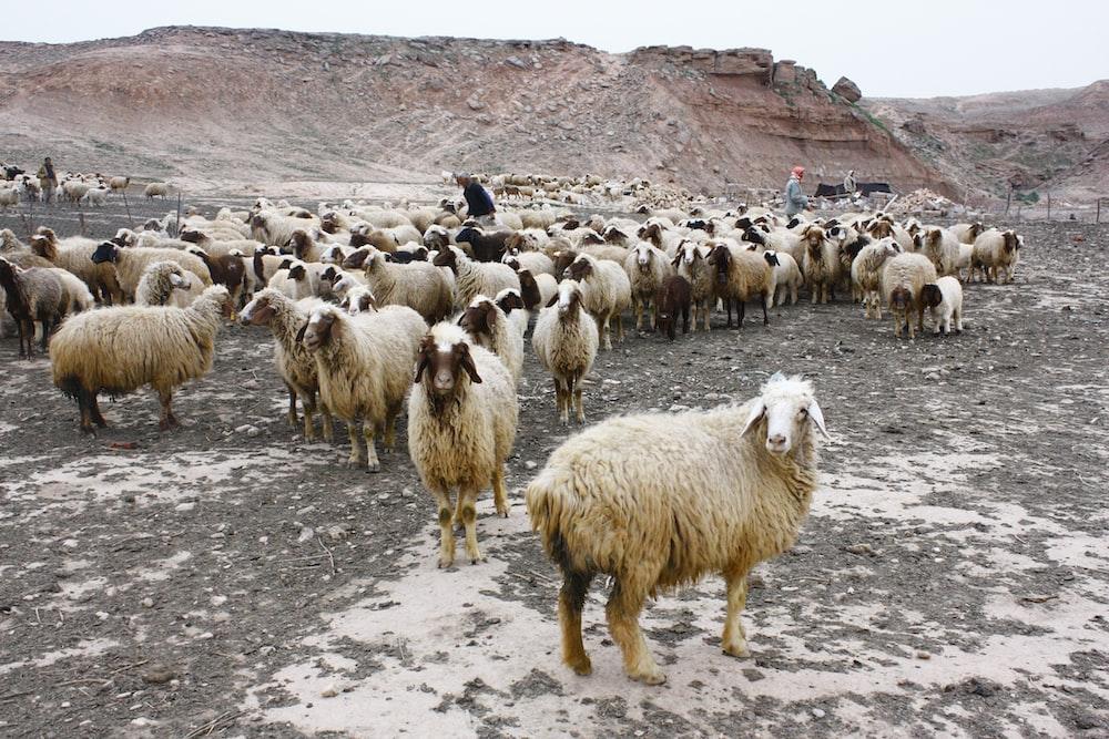 assorted sheeps