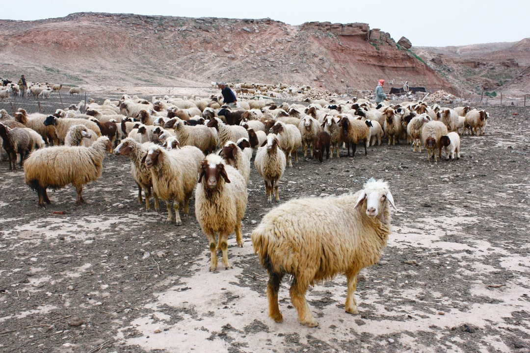 Herd of sheep in mountains