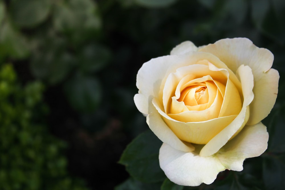 close-up photo of yellow petaled flower