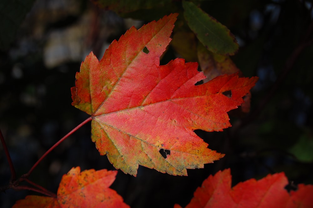 micro photography of mappe leaf