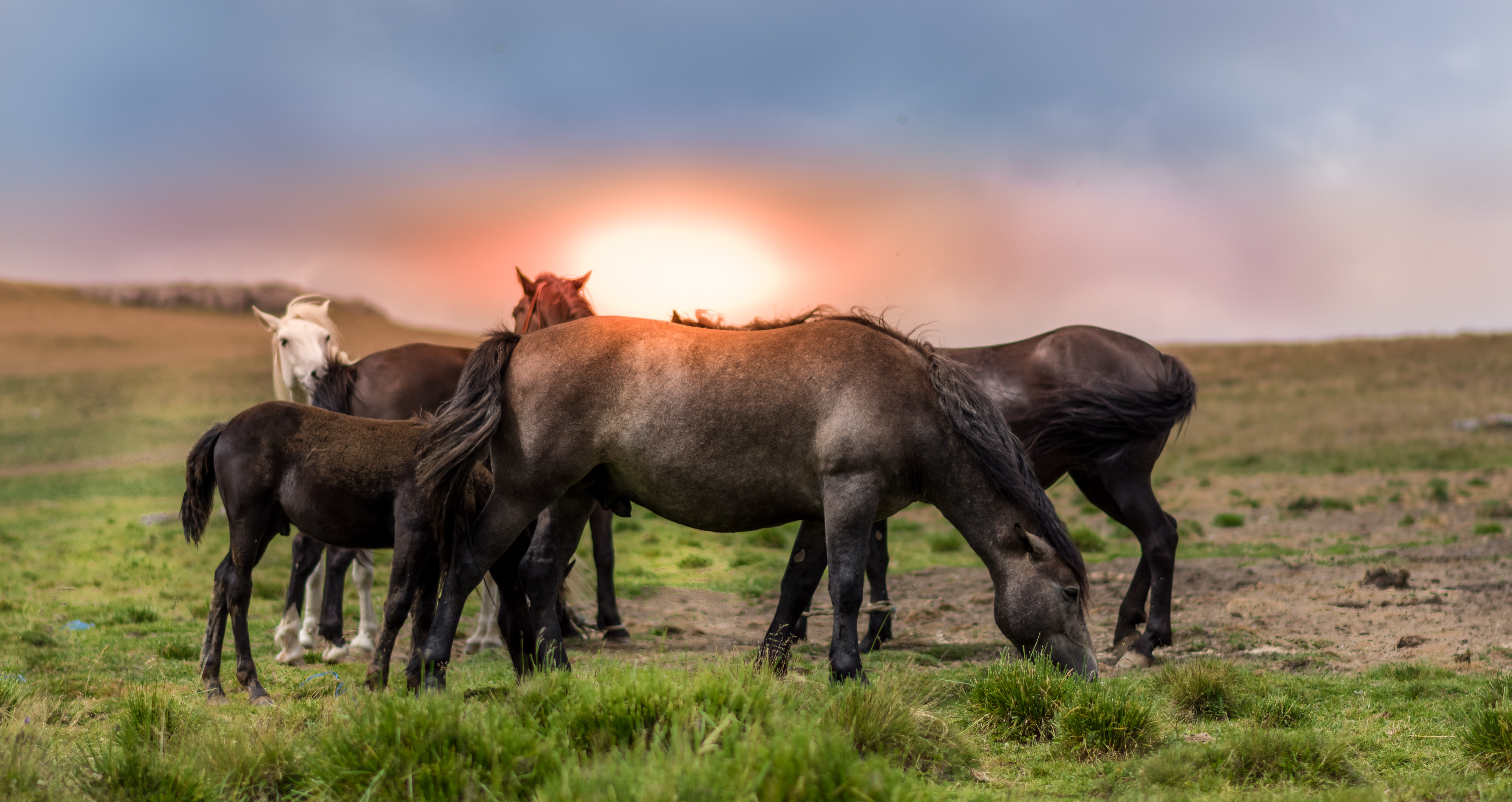 A herd of foals and adult horses standing close to each other and grazing on a hill during sunset