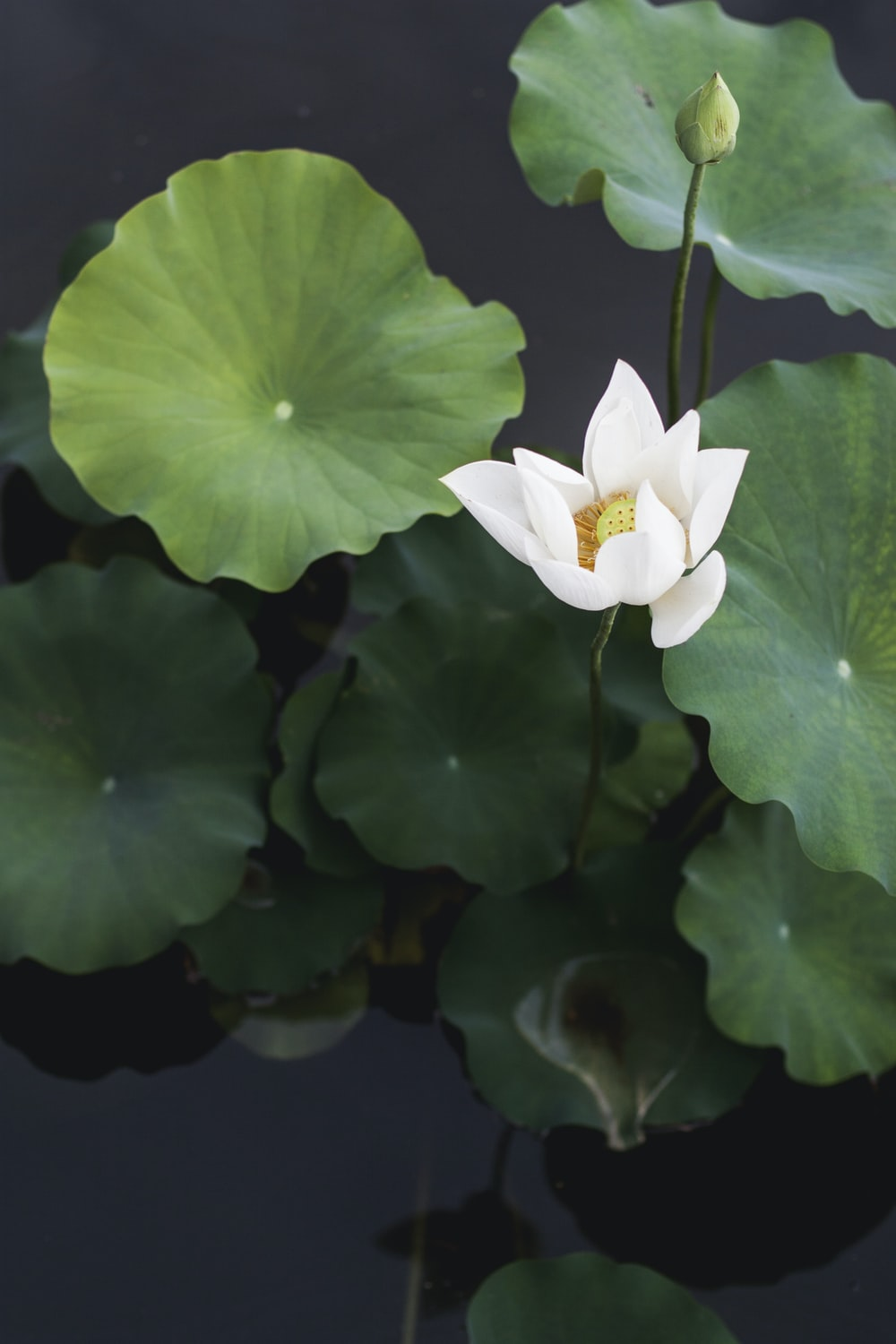 Lily pad pictures hq download free images on unsplash white lotus flower izmirmasajfo