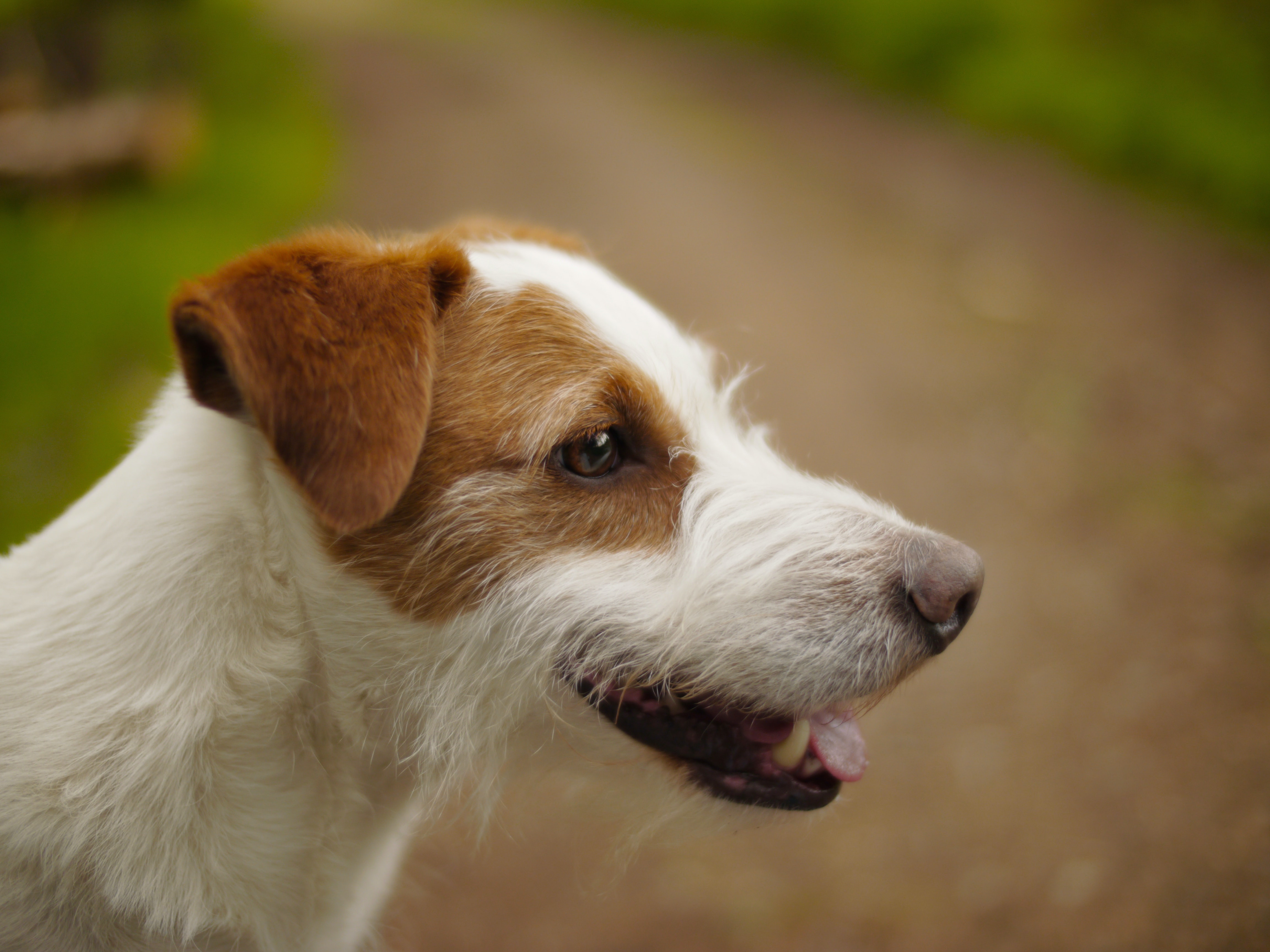 tilt shift lens photography of wired haired Jack Russell terrier