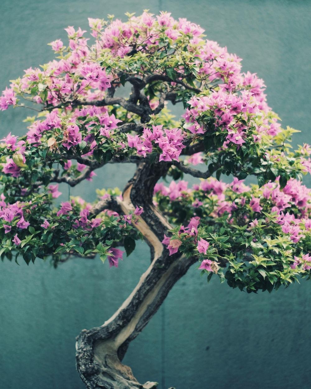 Beautuful Nature Bonsai Tree And Bonsai Hd Photo By Timothy