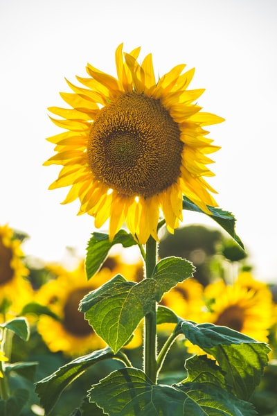 close-up photo of common sunflower