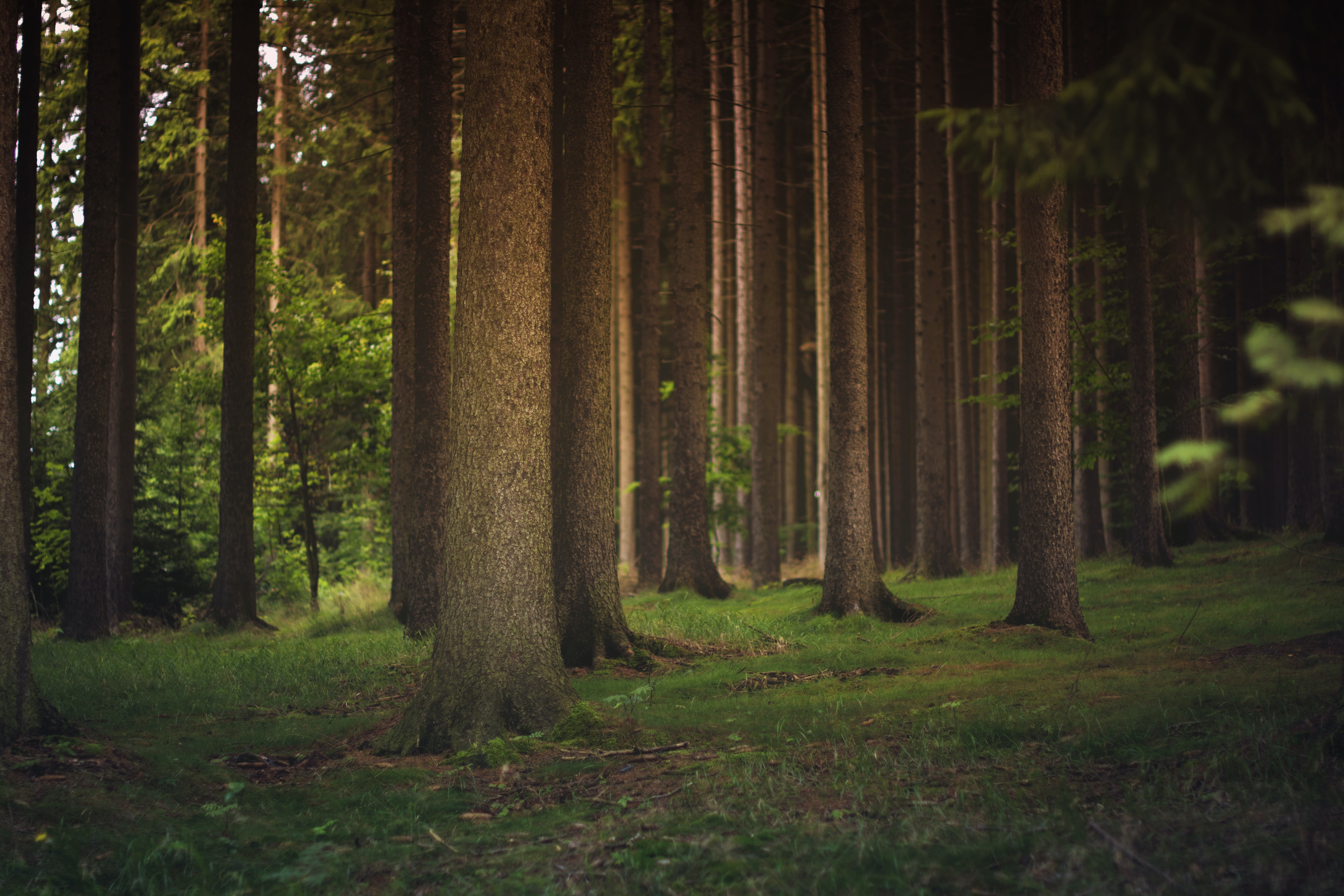 Tall coniferous trees on a grassy forest floor