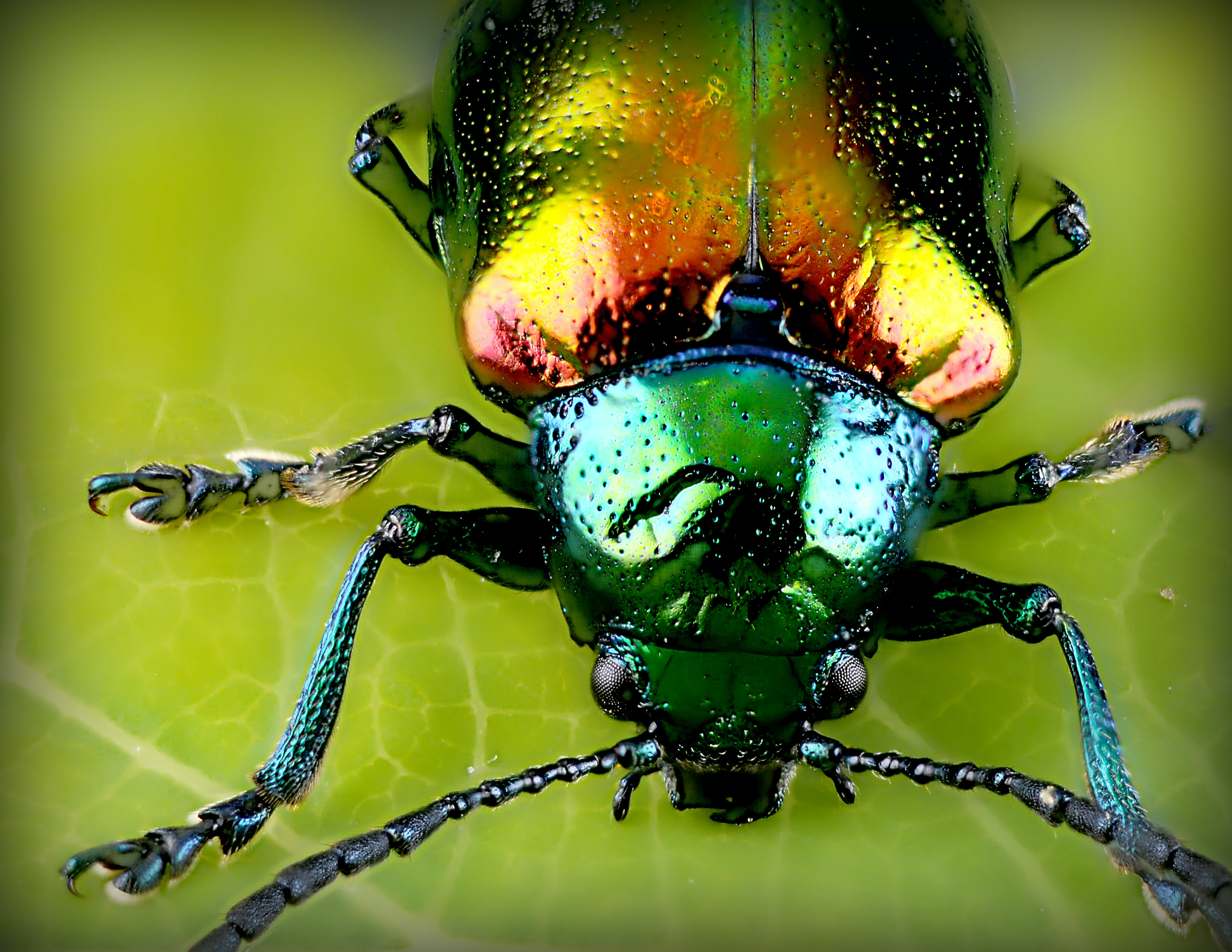Macro of iridescent insect with glossy, shiny body and antenna on green leaf
